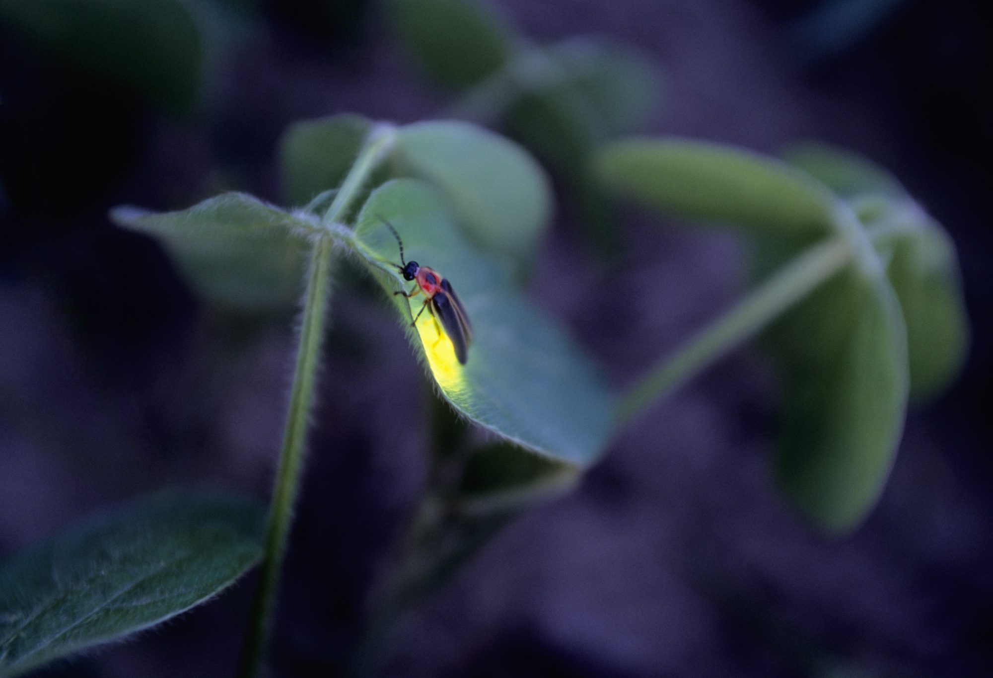 Firefly on leaf at night