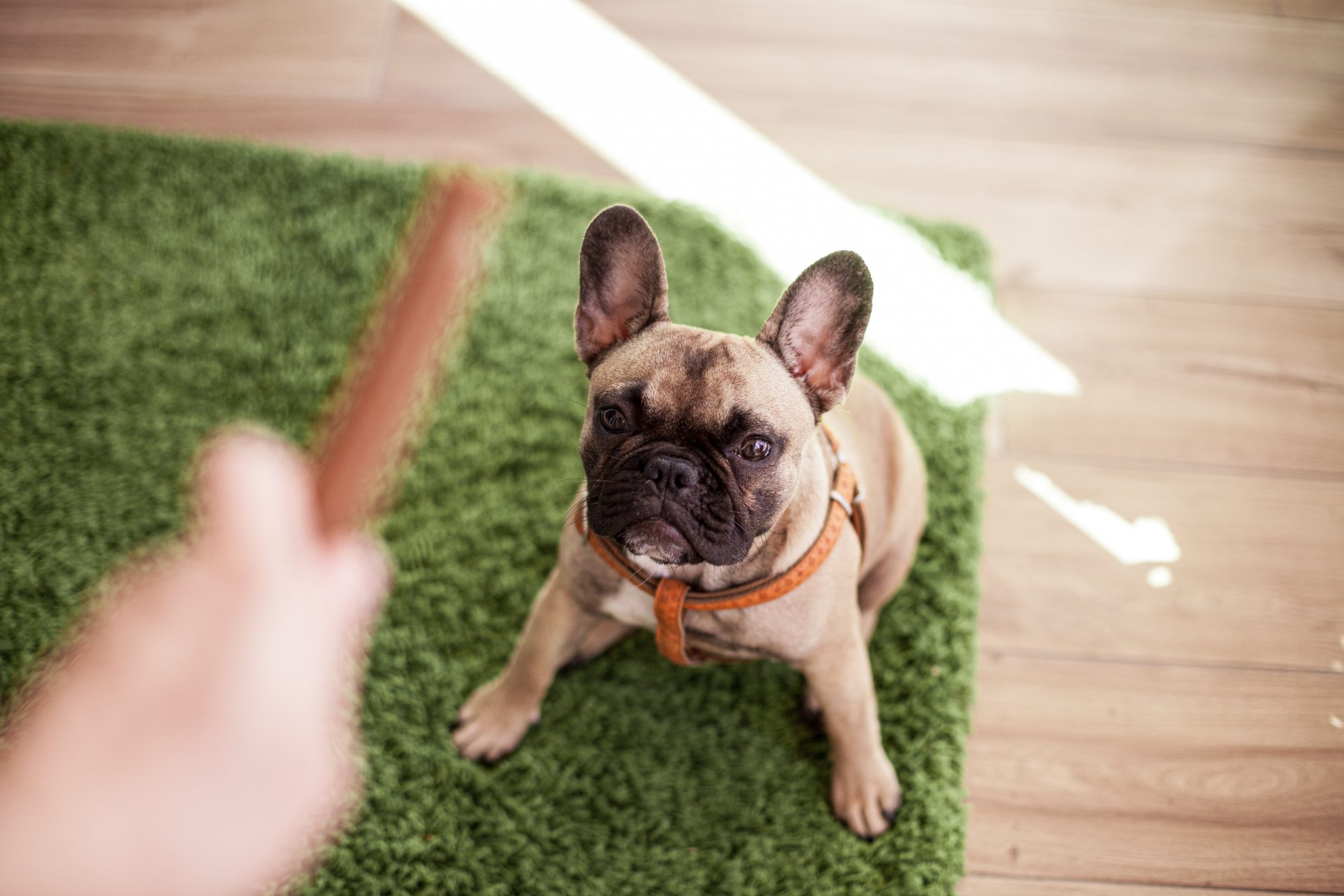 French bulldog waiting for her treat