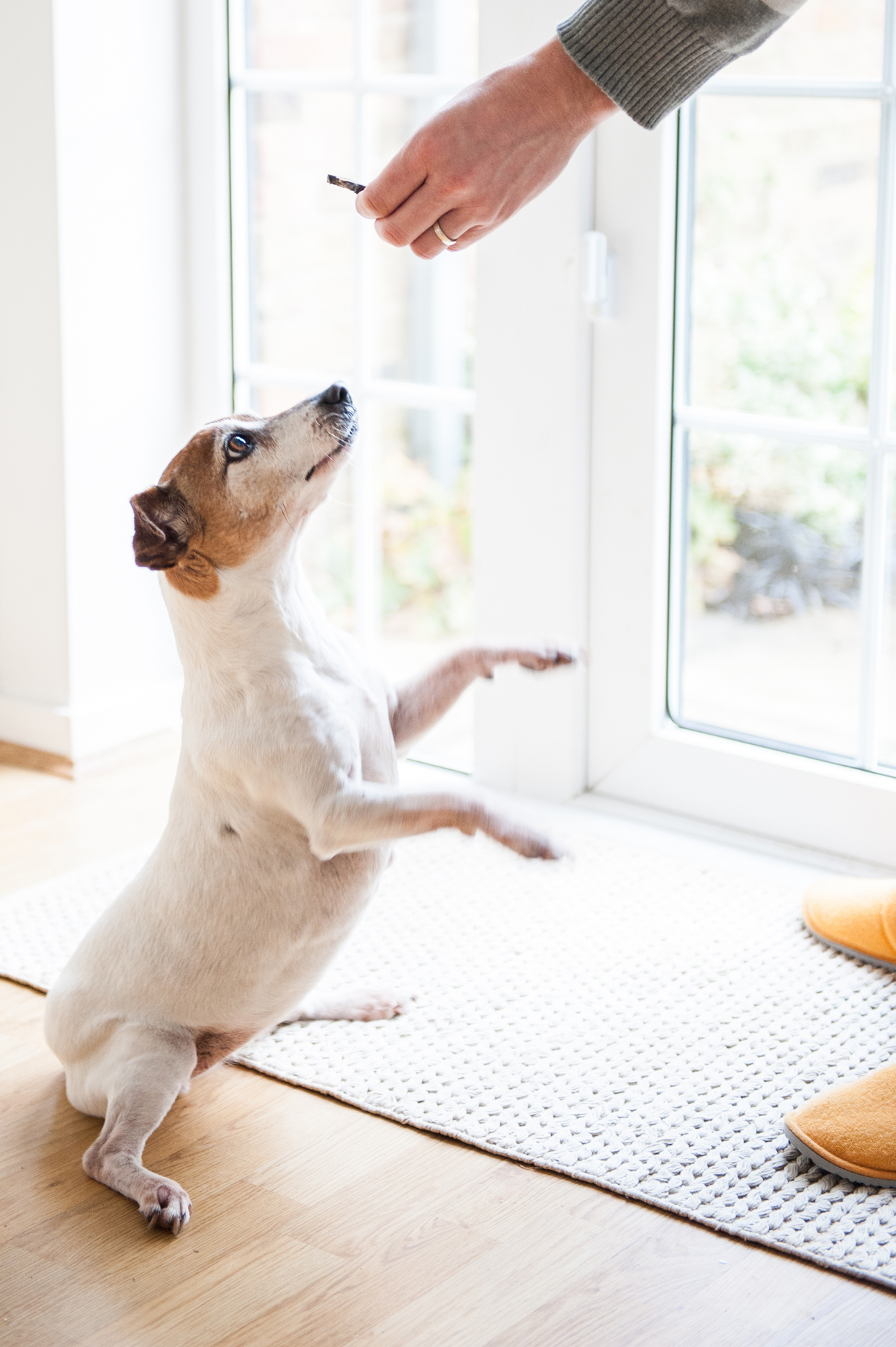 person giving a jack russell terrier a dog treat