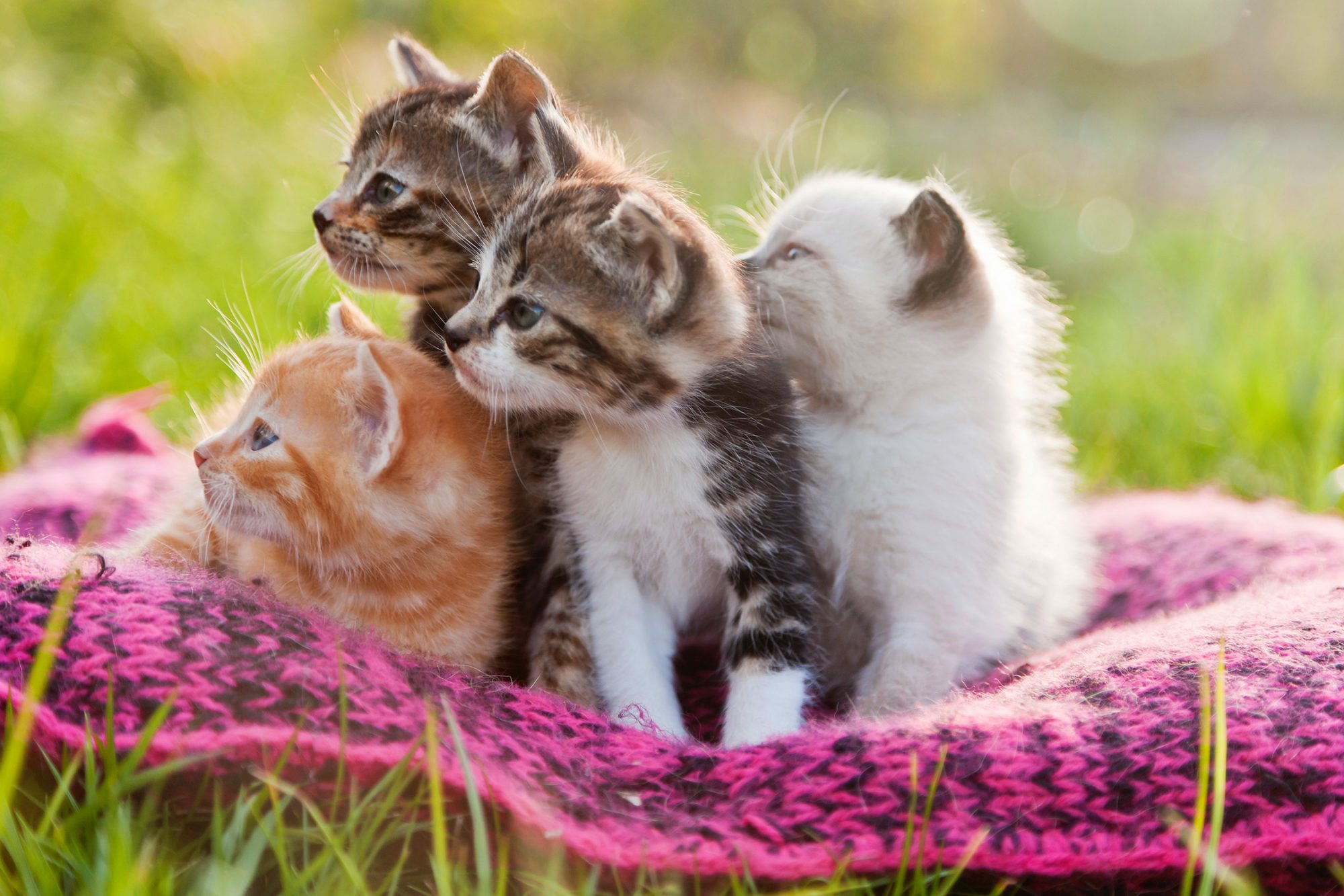 Four kittens in a pink cushion on the grass looking in the same direction.