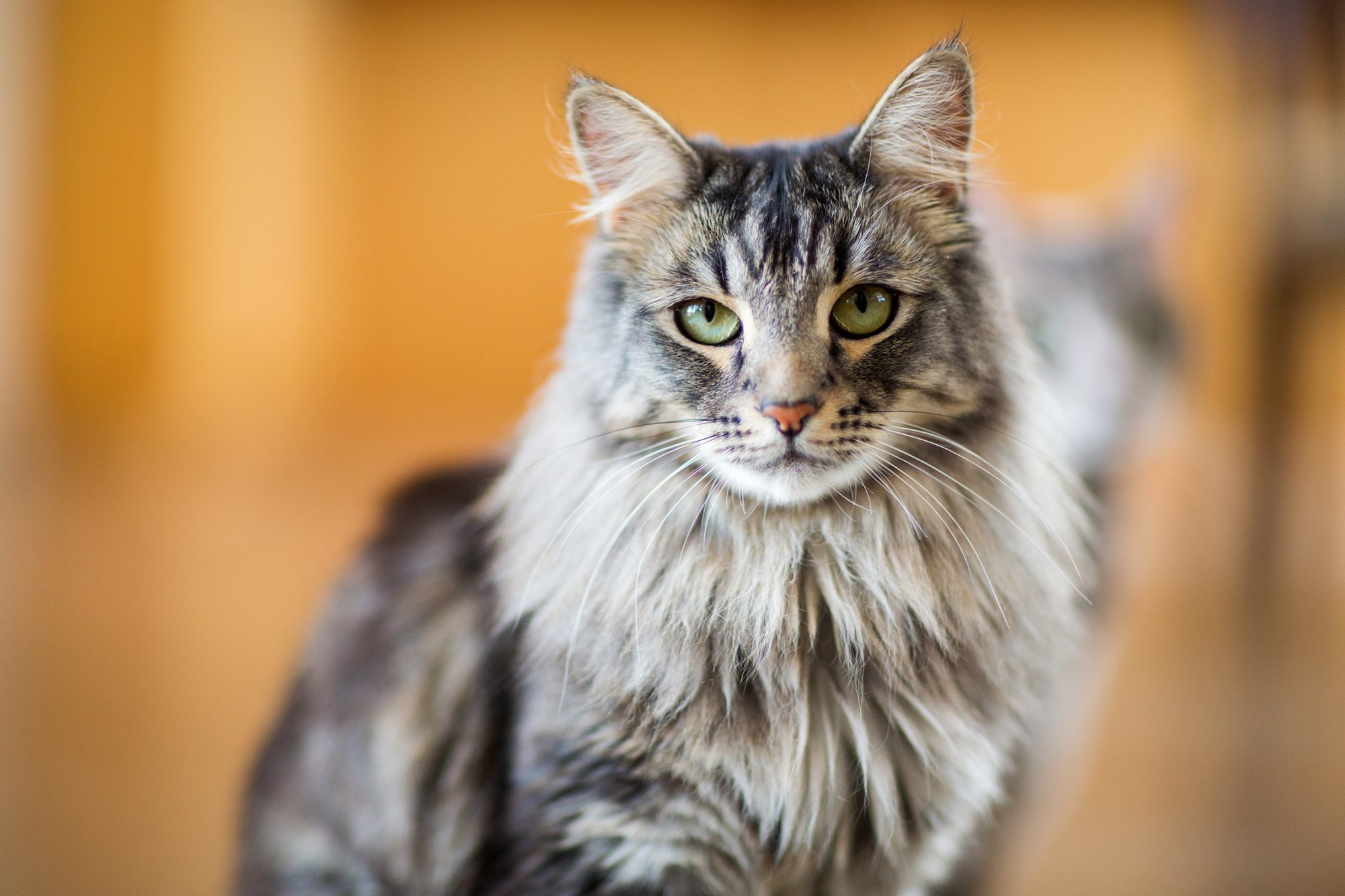 A close-up view of a Maine Coon cat indoors