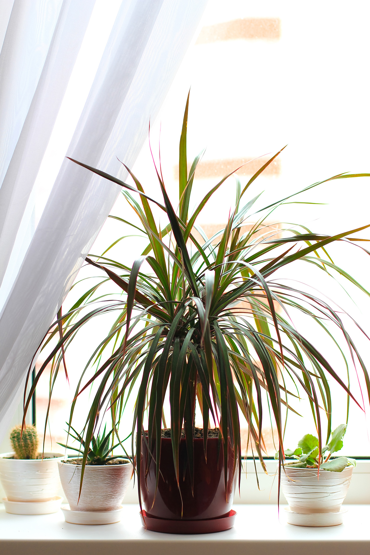 Dracaena plant in front of window with smaller plants