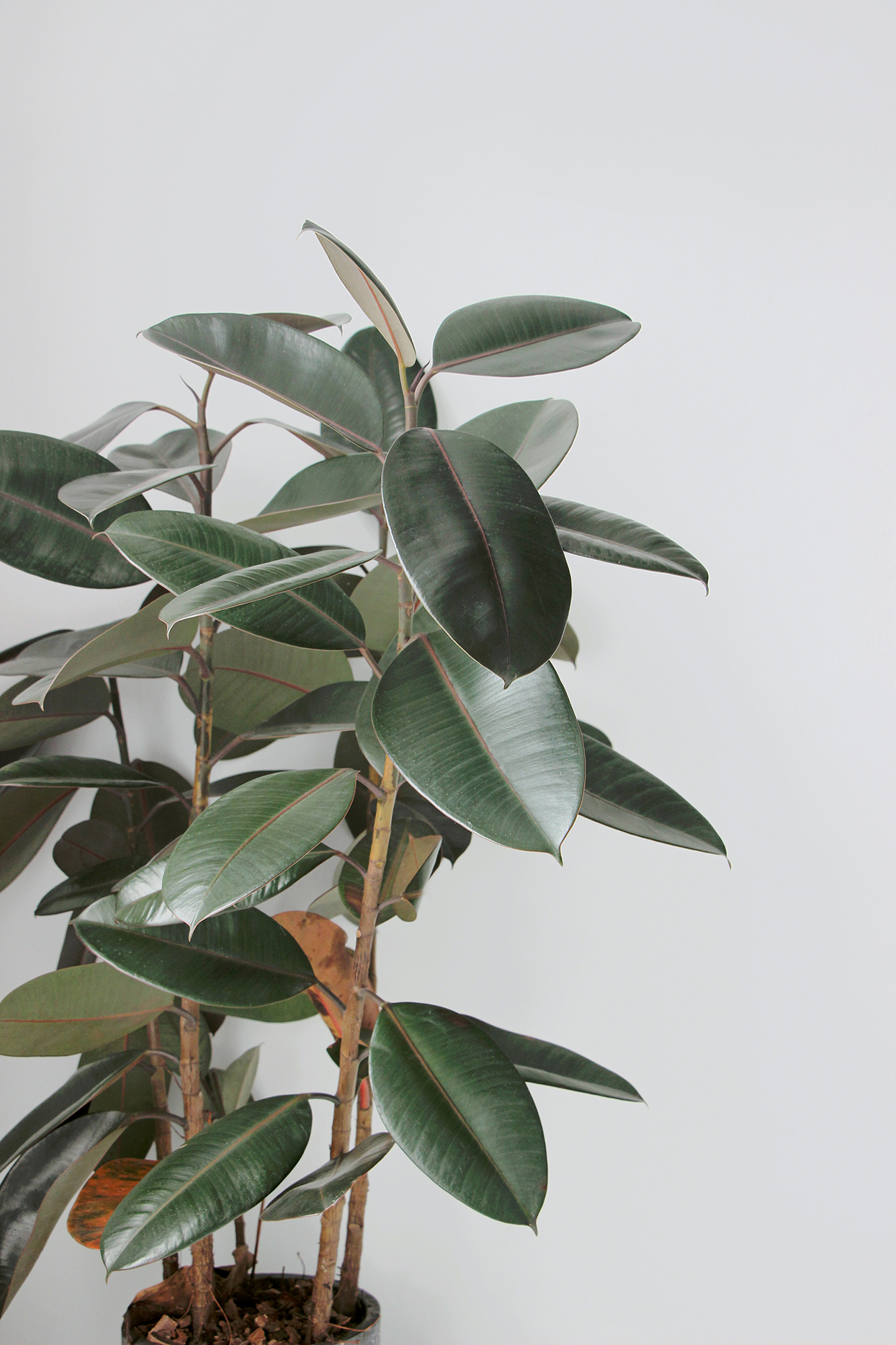 Rubber Tree against white wall