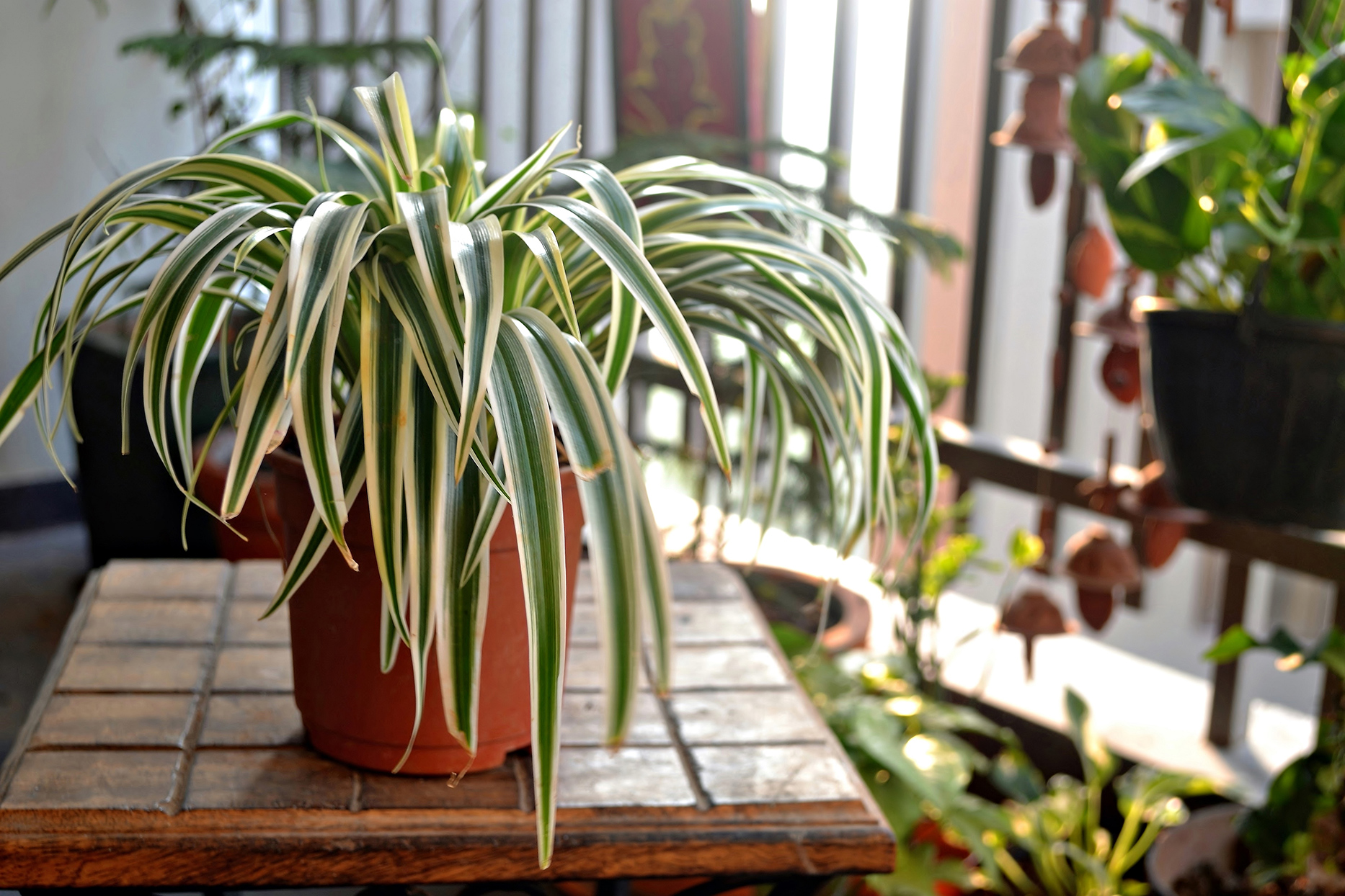 Spider Plant on wooden table