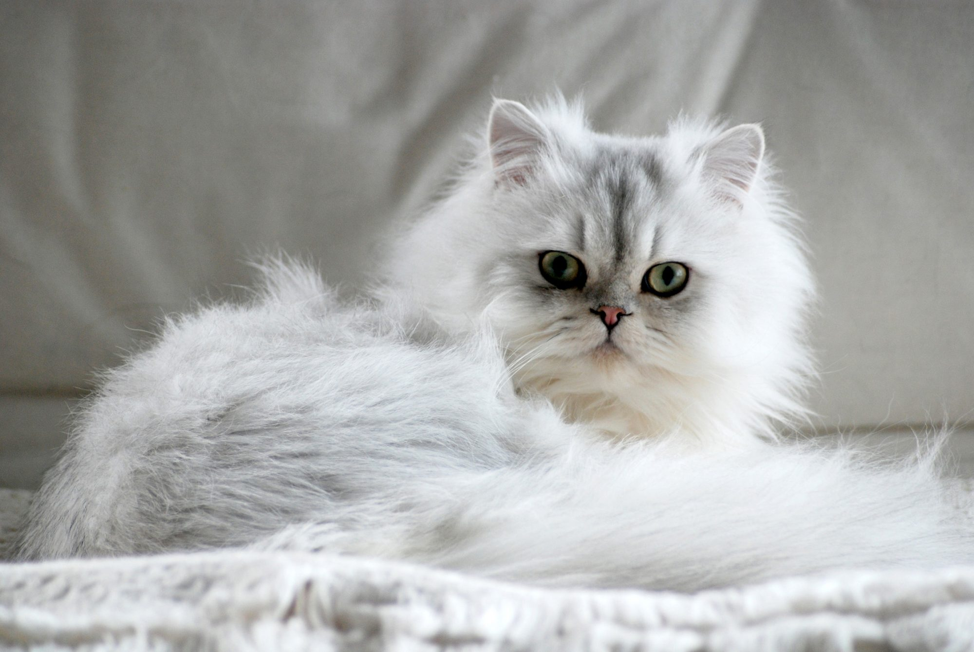 Fluffy Persian white cat lying down looking into camera
