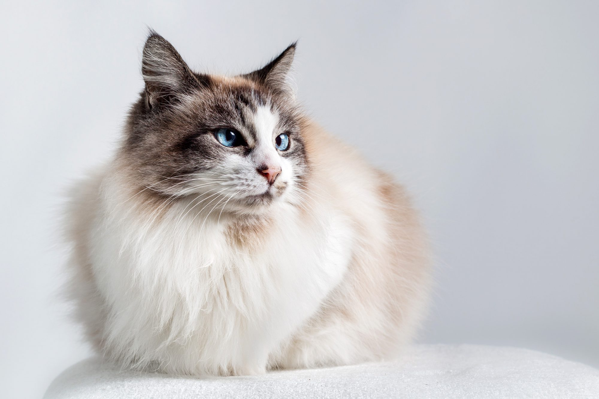 Long hair domestic Ragdoll cat -