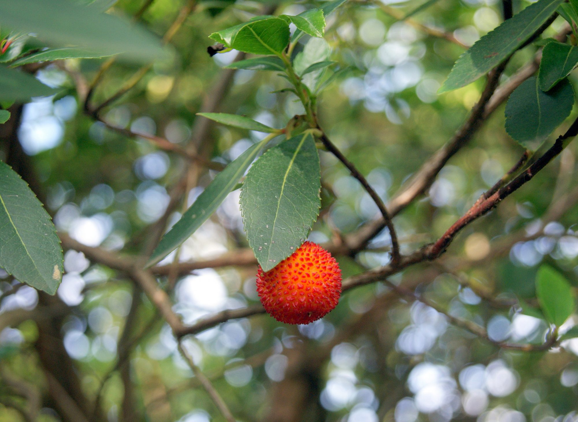 The strawberry tree or Arbutus unedo