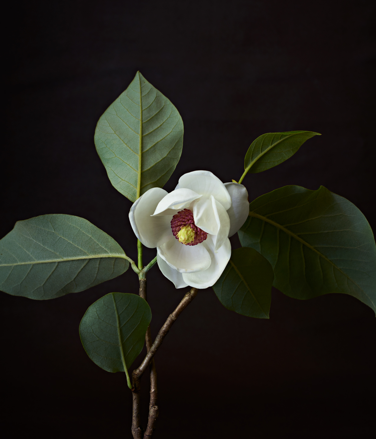 Everything You Need to Know About Magnolia Trees—from Their Prehistoric Origins to Identifying and Growing Them