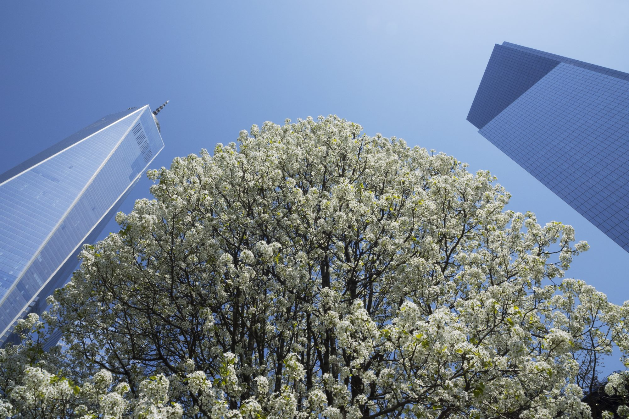 the Survivor Tree blossoms in full bloom in New York City