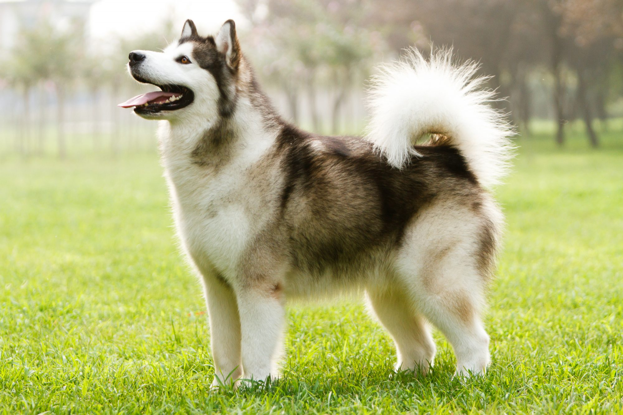 "The Alaskan Malamute was originally bred for pulling dog sleds so they're comfortable taking the road less traveled. ""It's a very big, powerful version of a Husky,"" says DiNardo. These dogs have two thick coats to protect them from the cold so, if you spend lots of time in the snow, this dog is the perfect one for you."