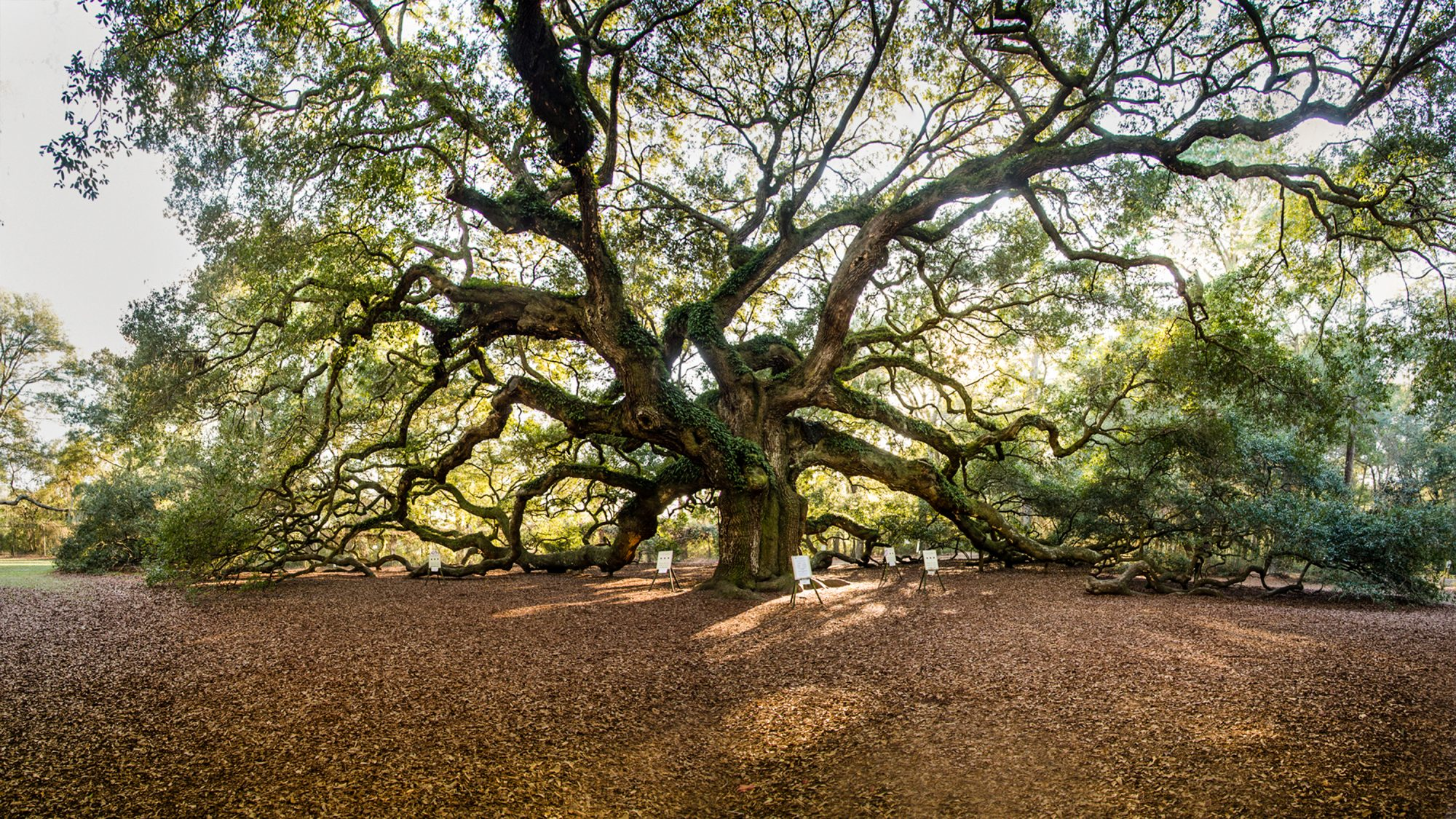the Angel Oak Tree near Charleston, South Carolina