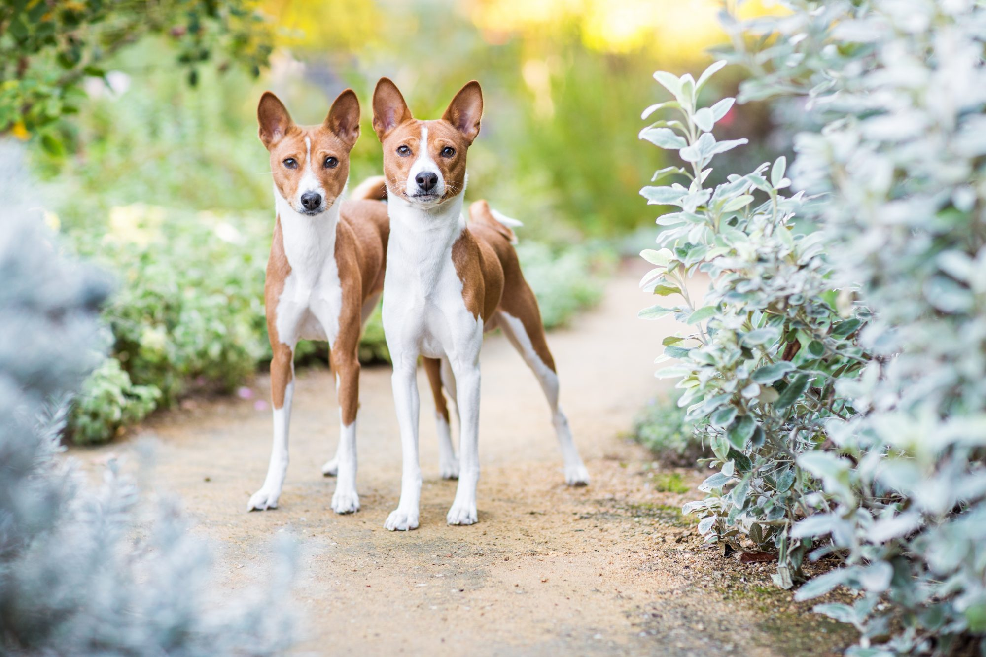 Two Basenji dogs stare intently while standing side-by-side on a dirt path through a cultivated garden