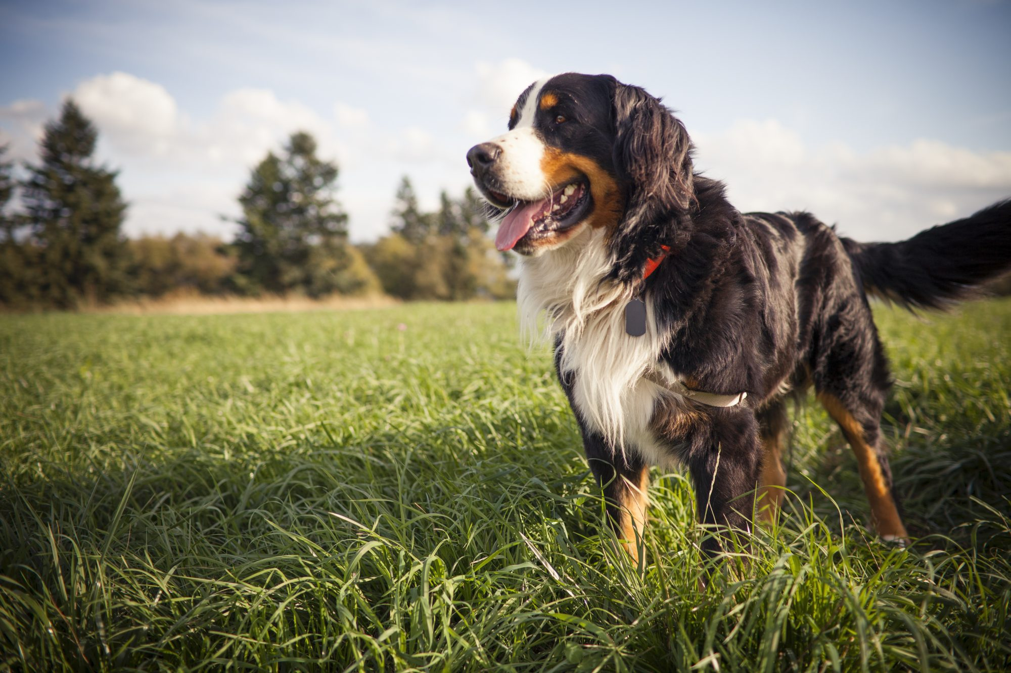 Bernese Mountain Dog standing in a grass covered field