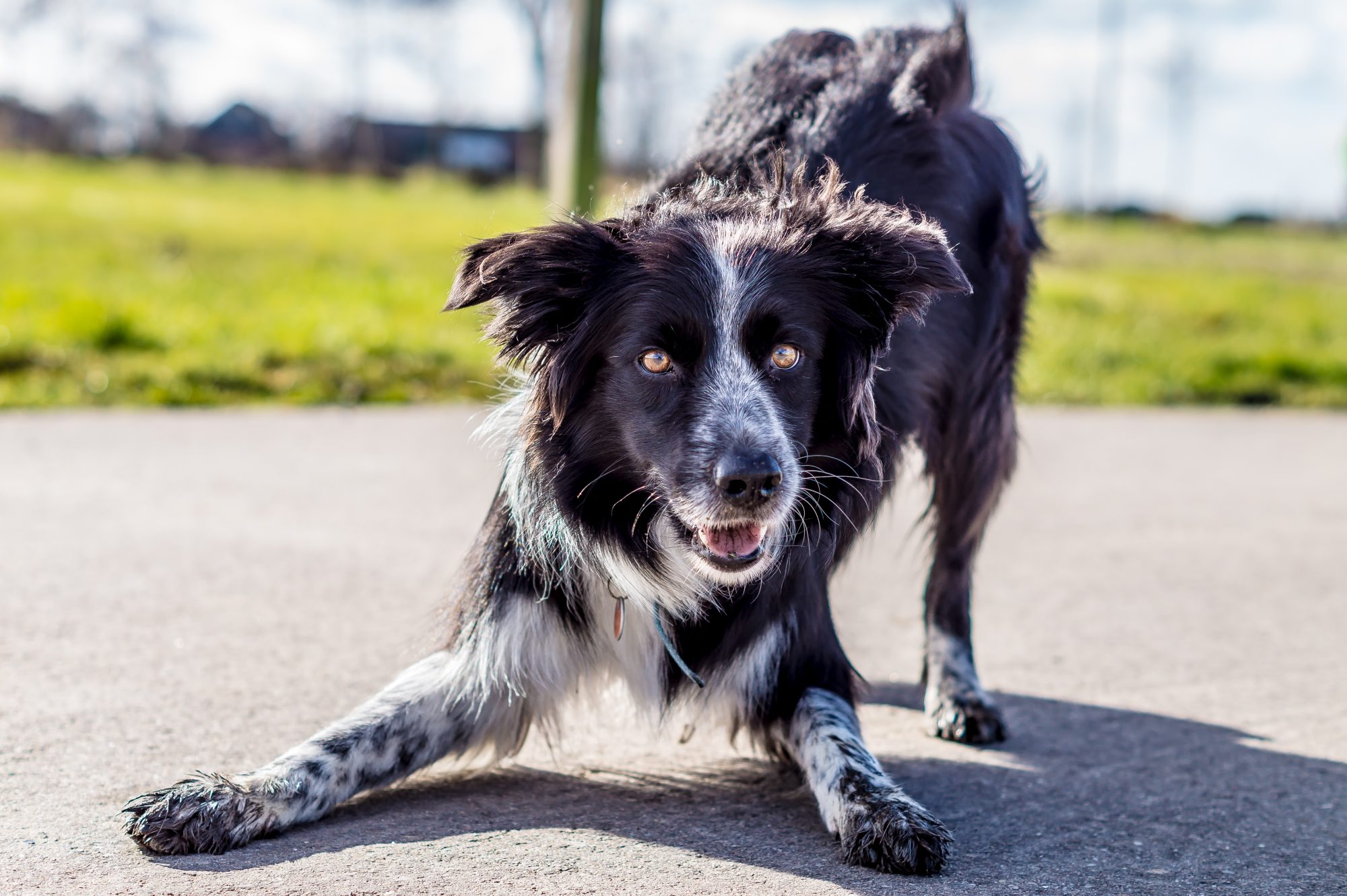 border collie play-bowing
