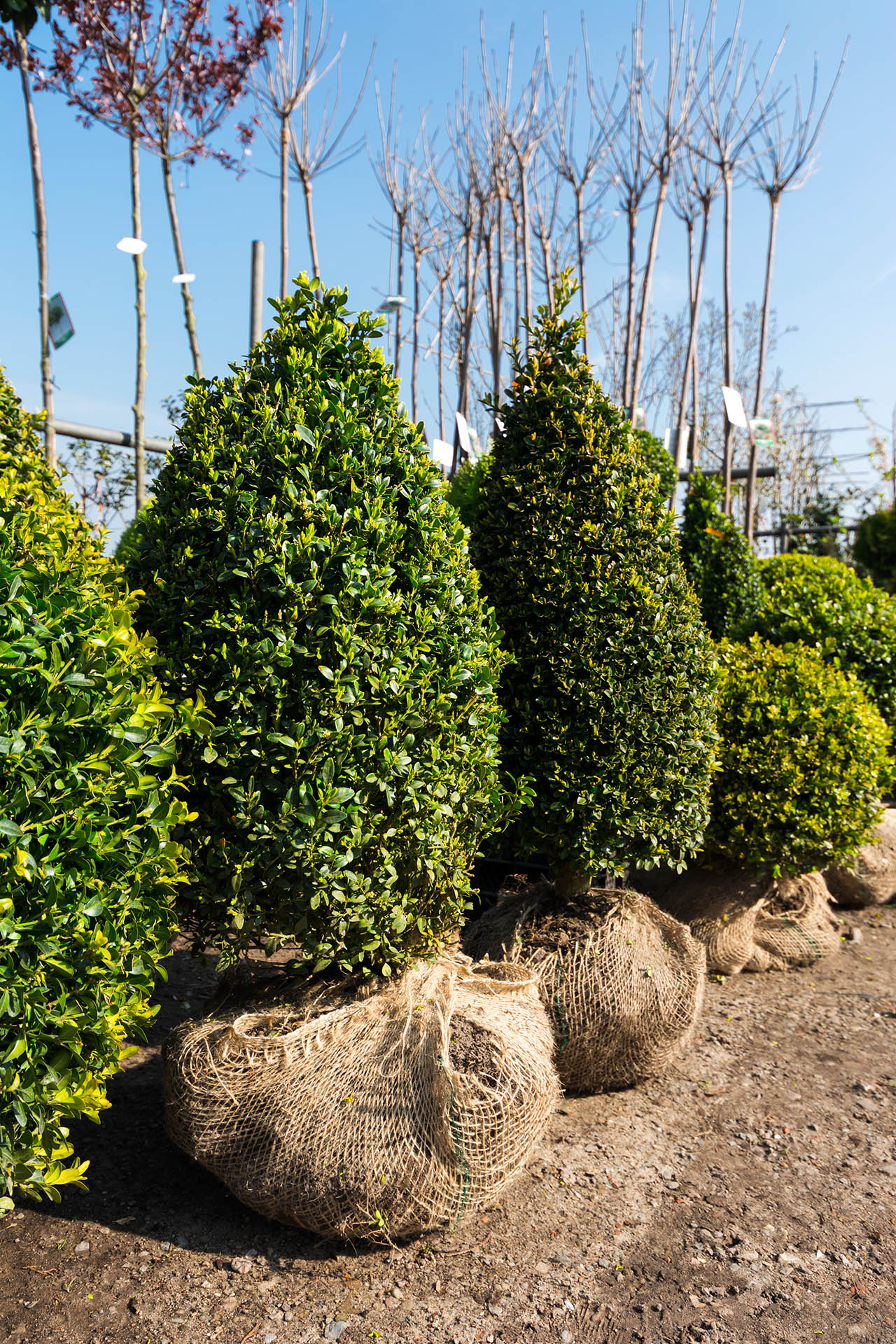Young buxus trees in a garden center