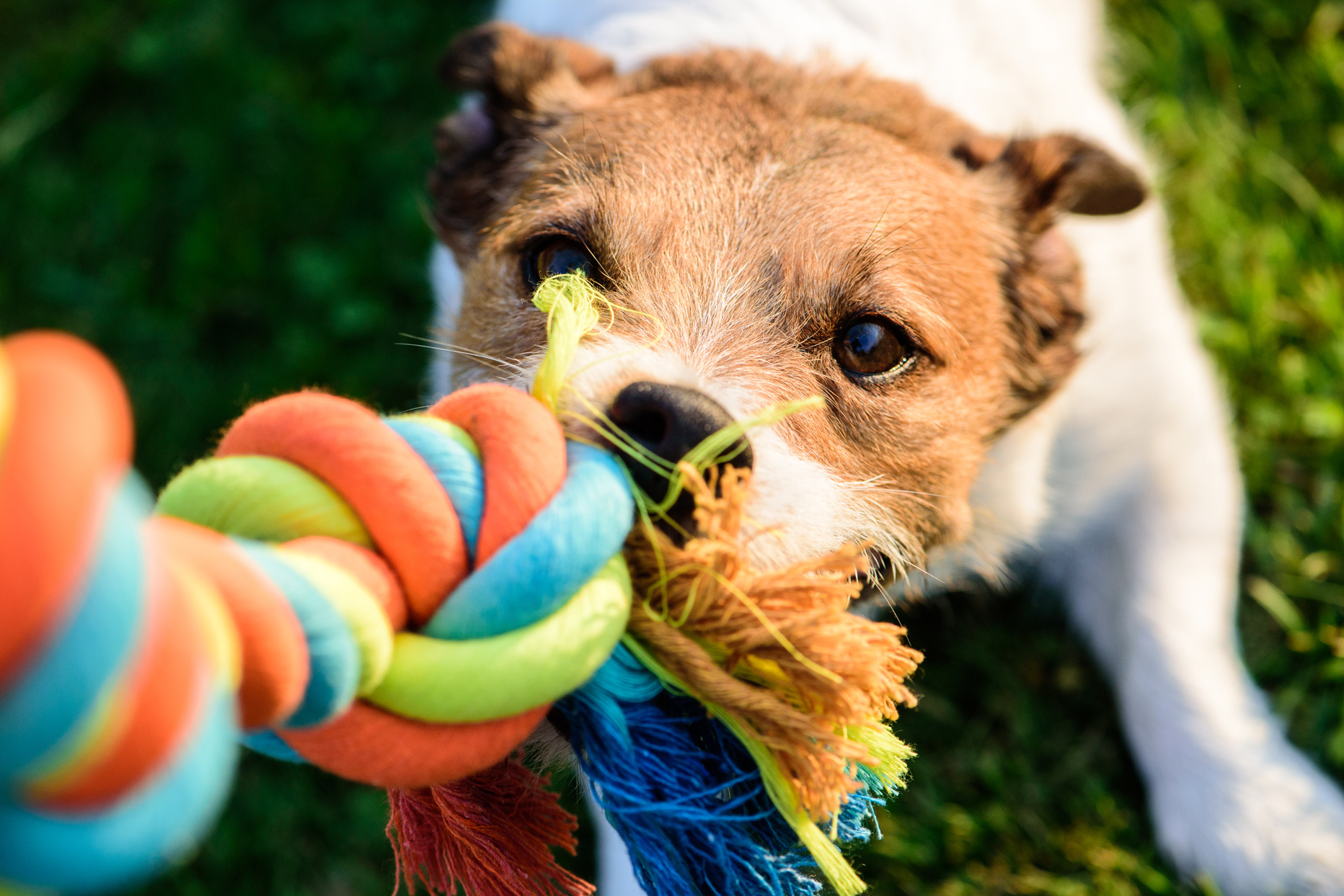 dog playing tug with multicolor rope toy
