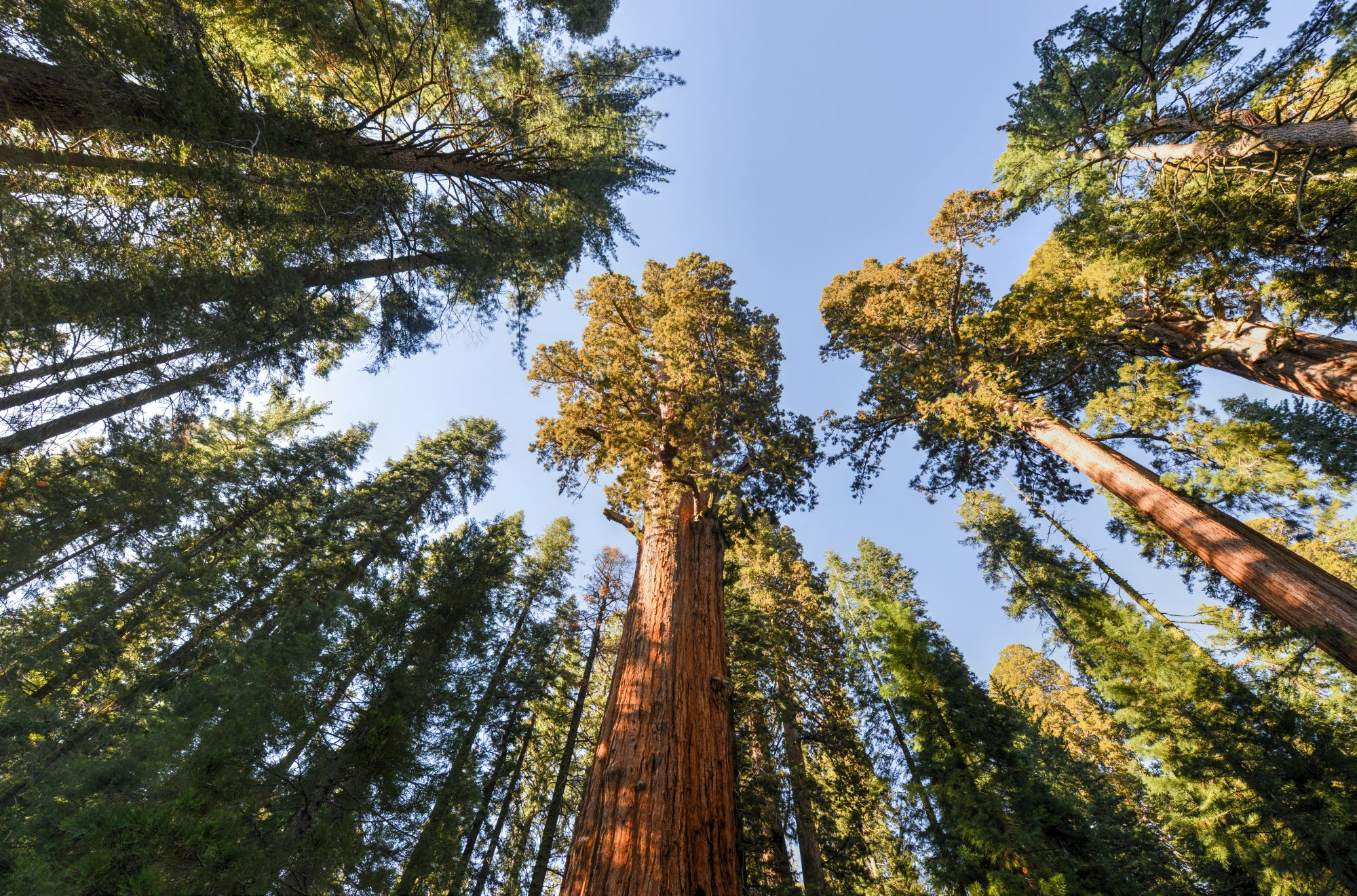 an upwards view of the General Sherman Sequoia Tree in California