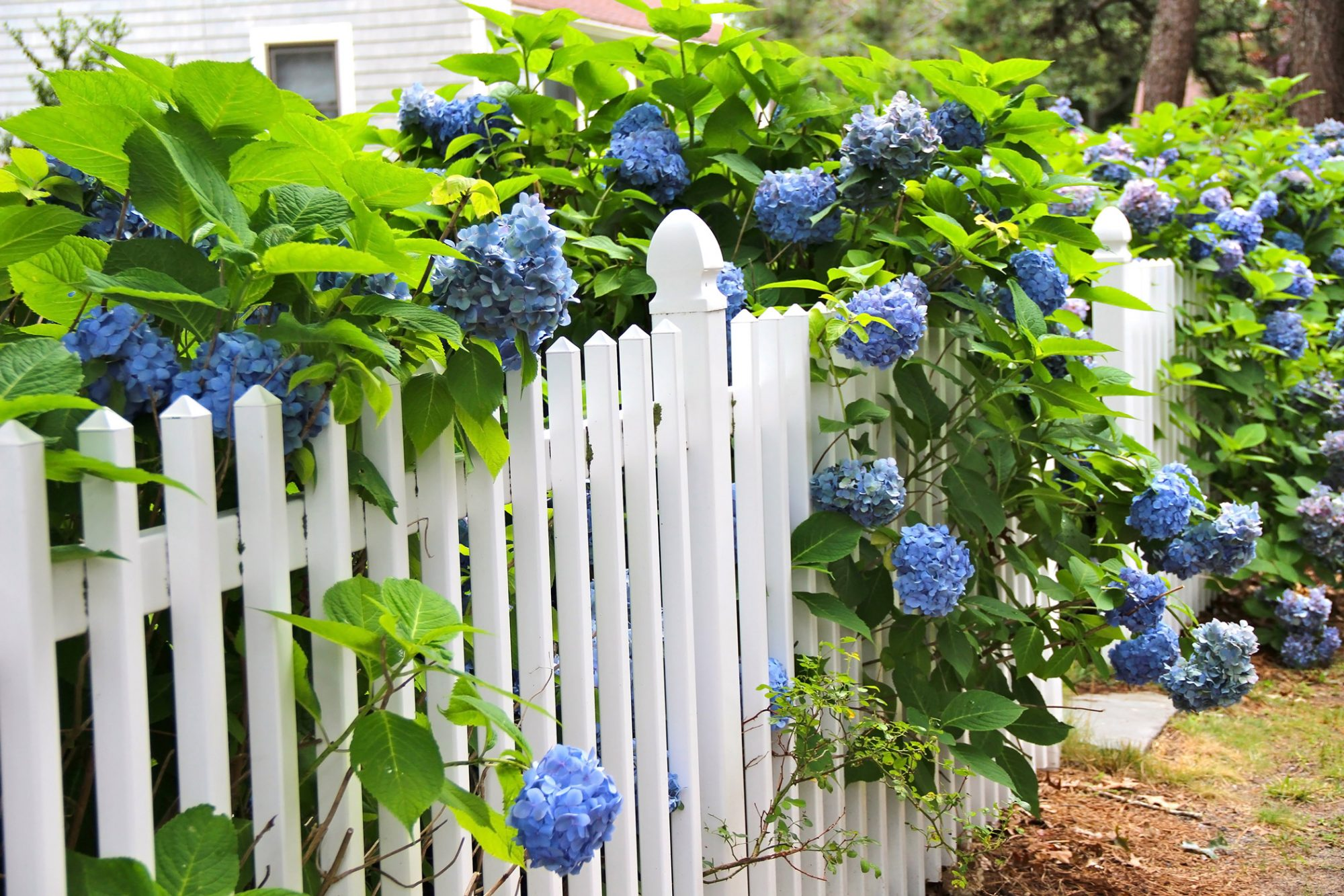 blue hydrangeas growing through white picket fence