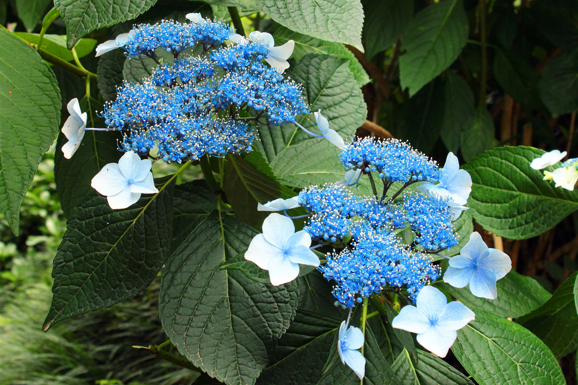close-up Lacecap Hydrangeas with blue and white blooms