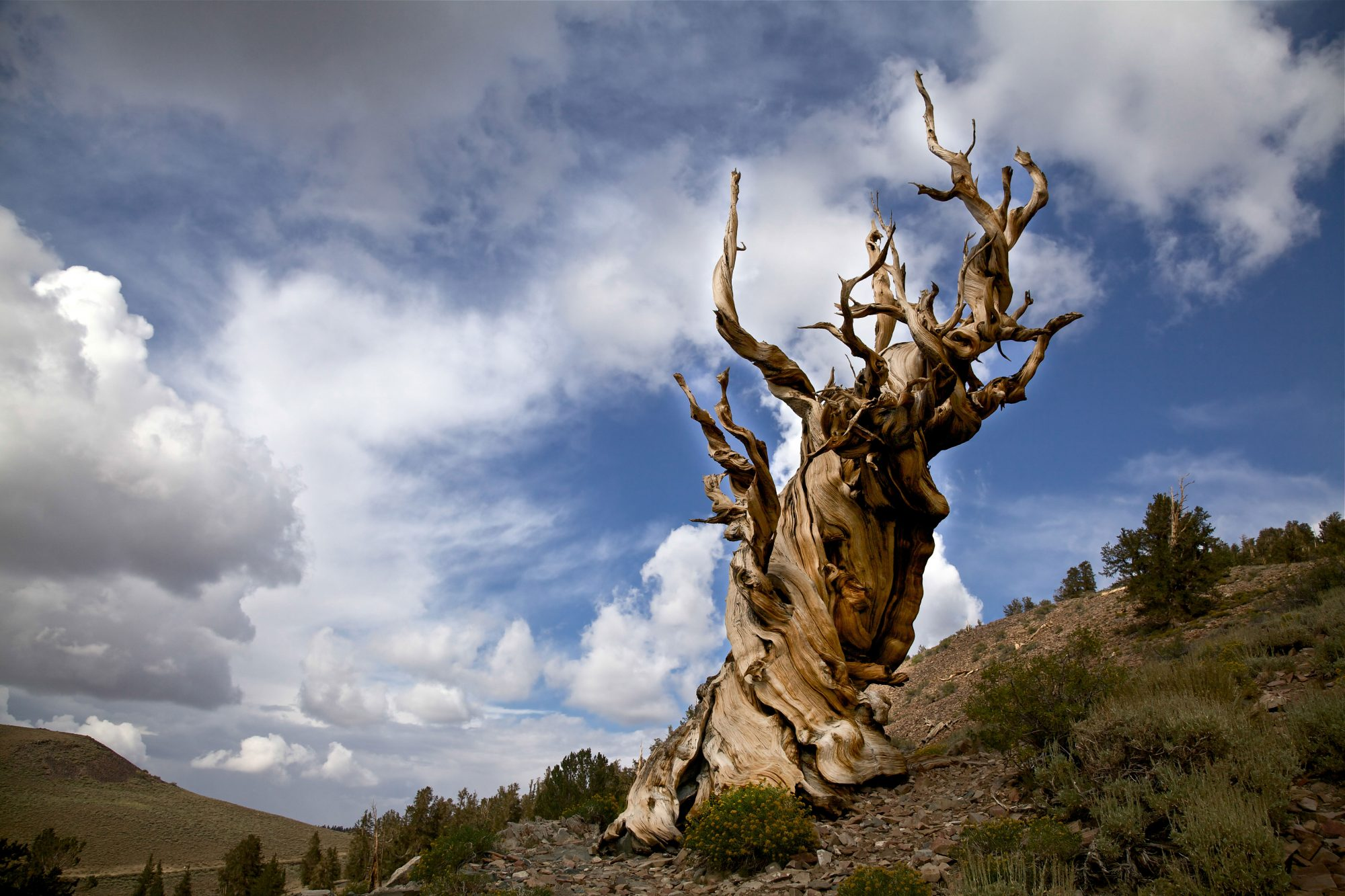 Methuselah tree on a hillside