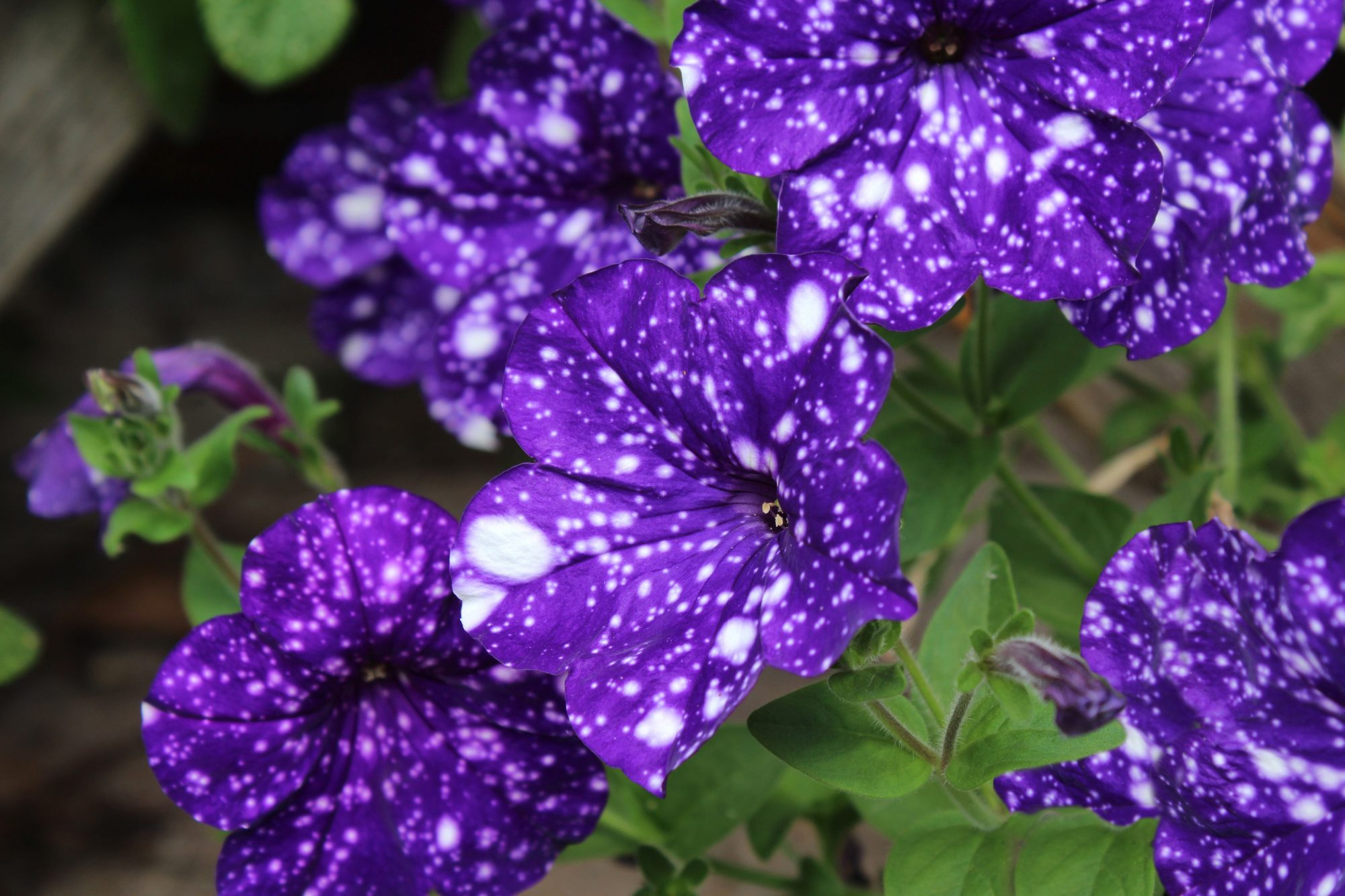 spotted petunias