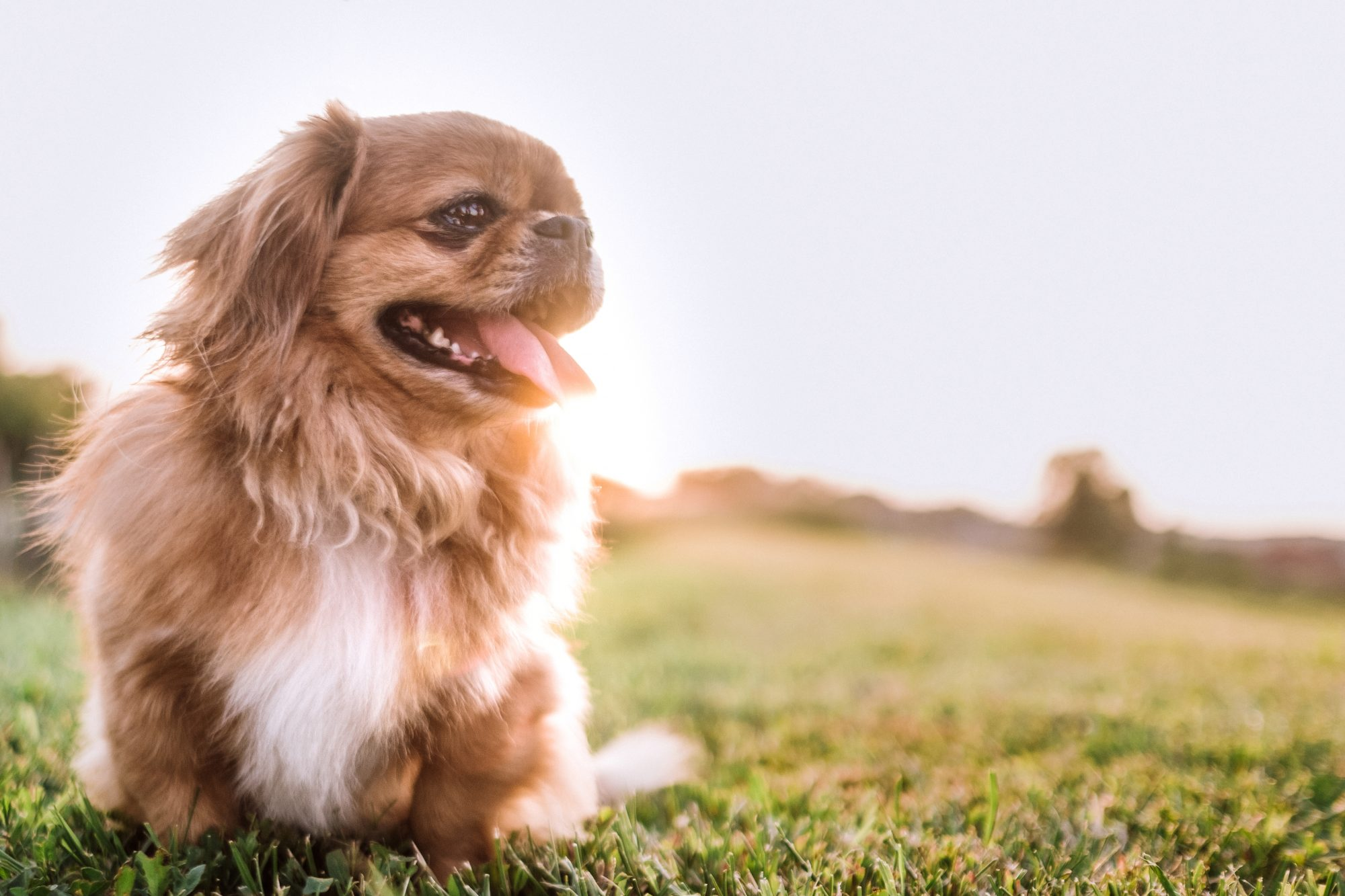 carefree Pekingese dog walking in a field