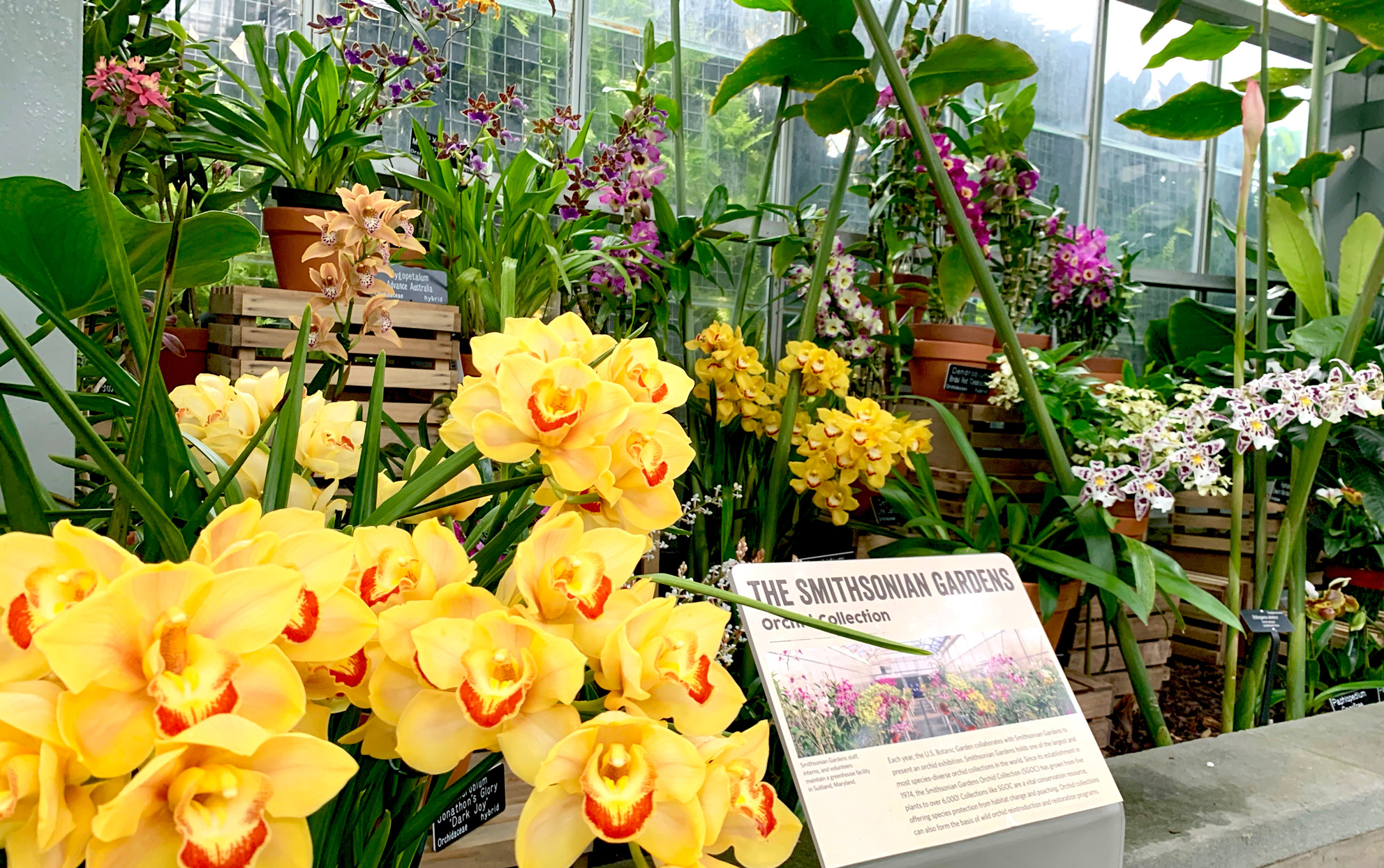 yellow orchids in the Smithsonian Gardens