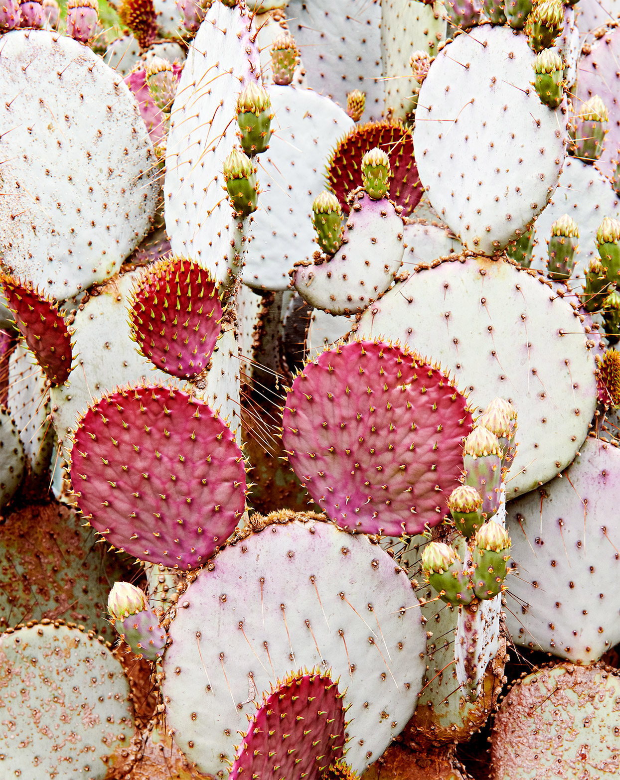 pink prickly pears cactus