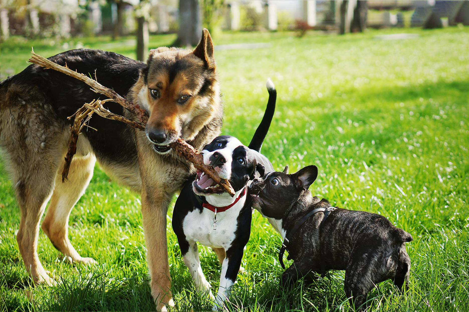 Three dogs playing with a stick at the park