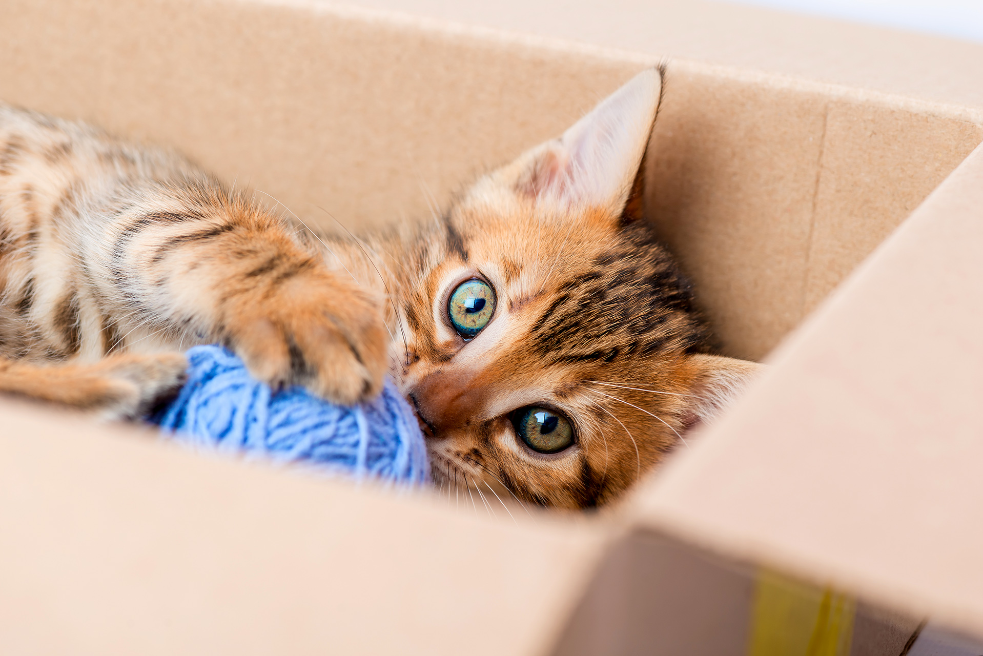 portrait of a kitten with a ball from the box