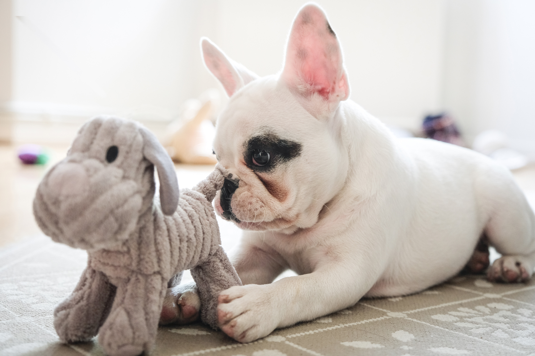 white french bulldog laying on ground with stuffed toy