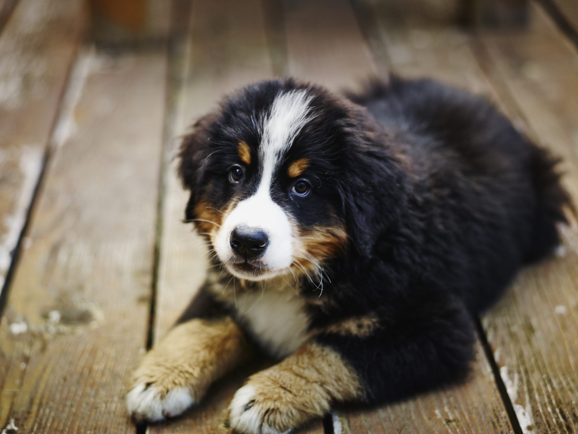 bernese mountain dog puppy lying on wooden deck
