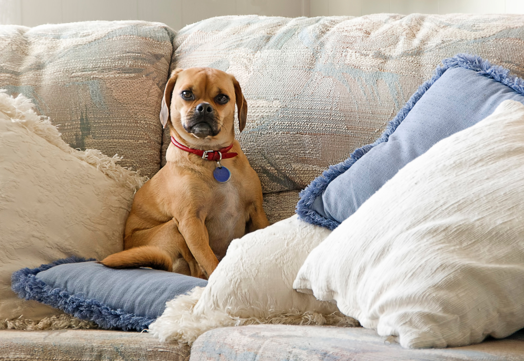 Puggle on couch