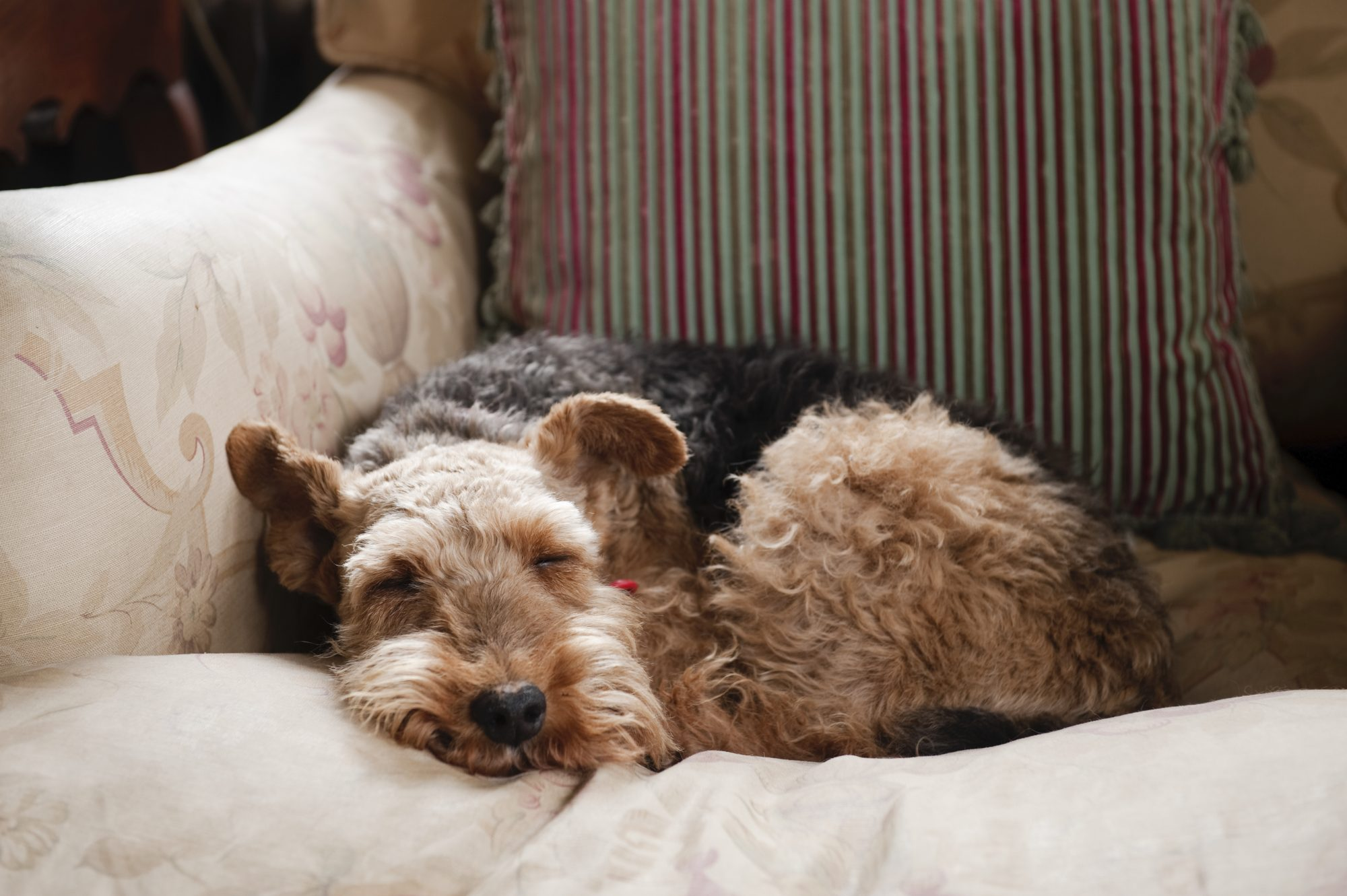 A welsh terrier sleeping on a faded floral print armchair