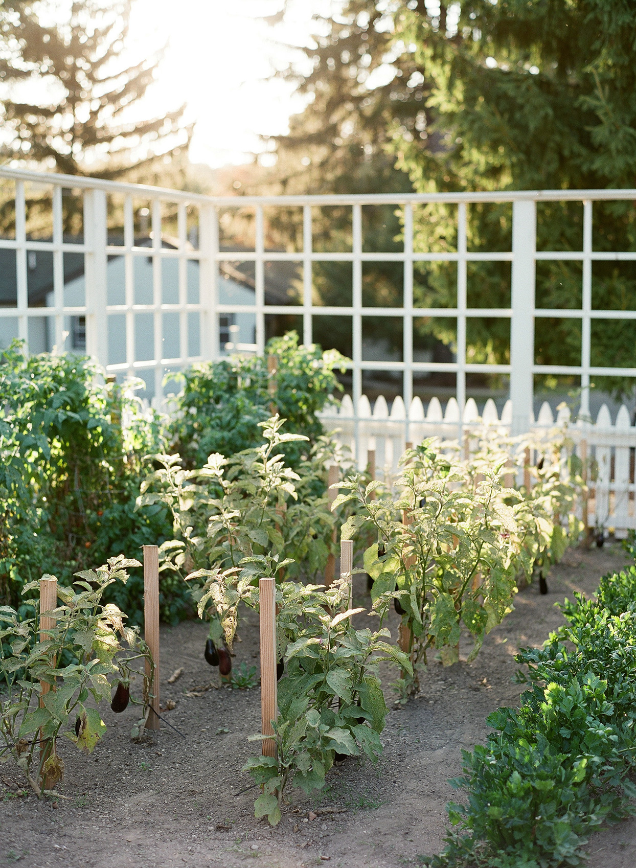 eggplants growing in garden at rehearsal dinner location
