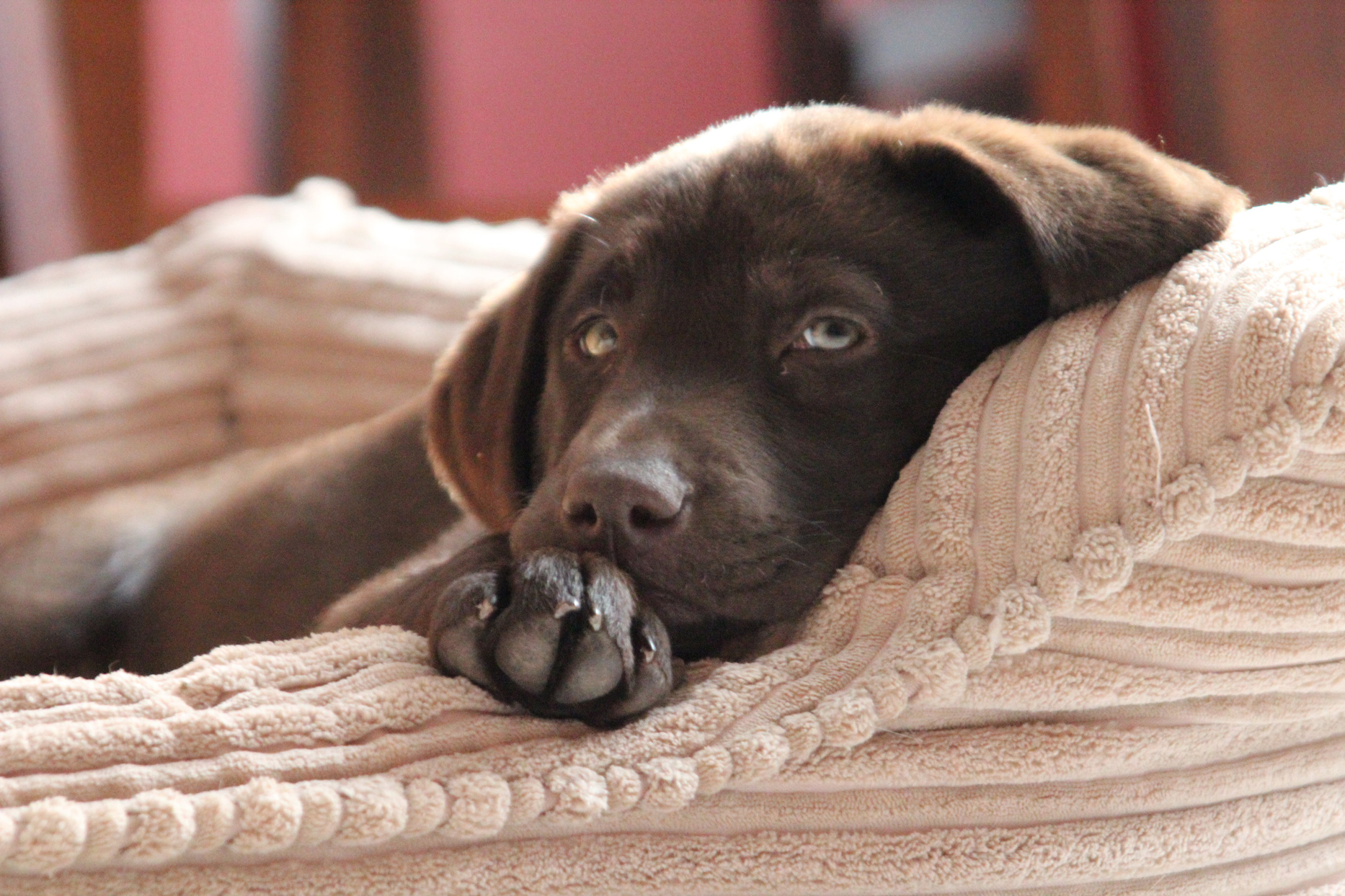 chocolate lab puppy laying in tan dog bed