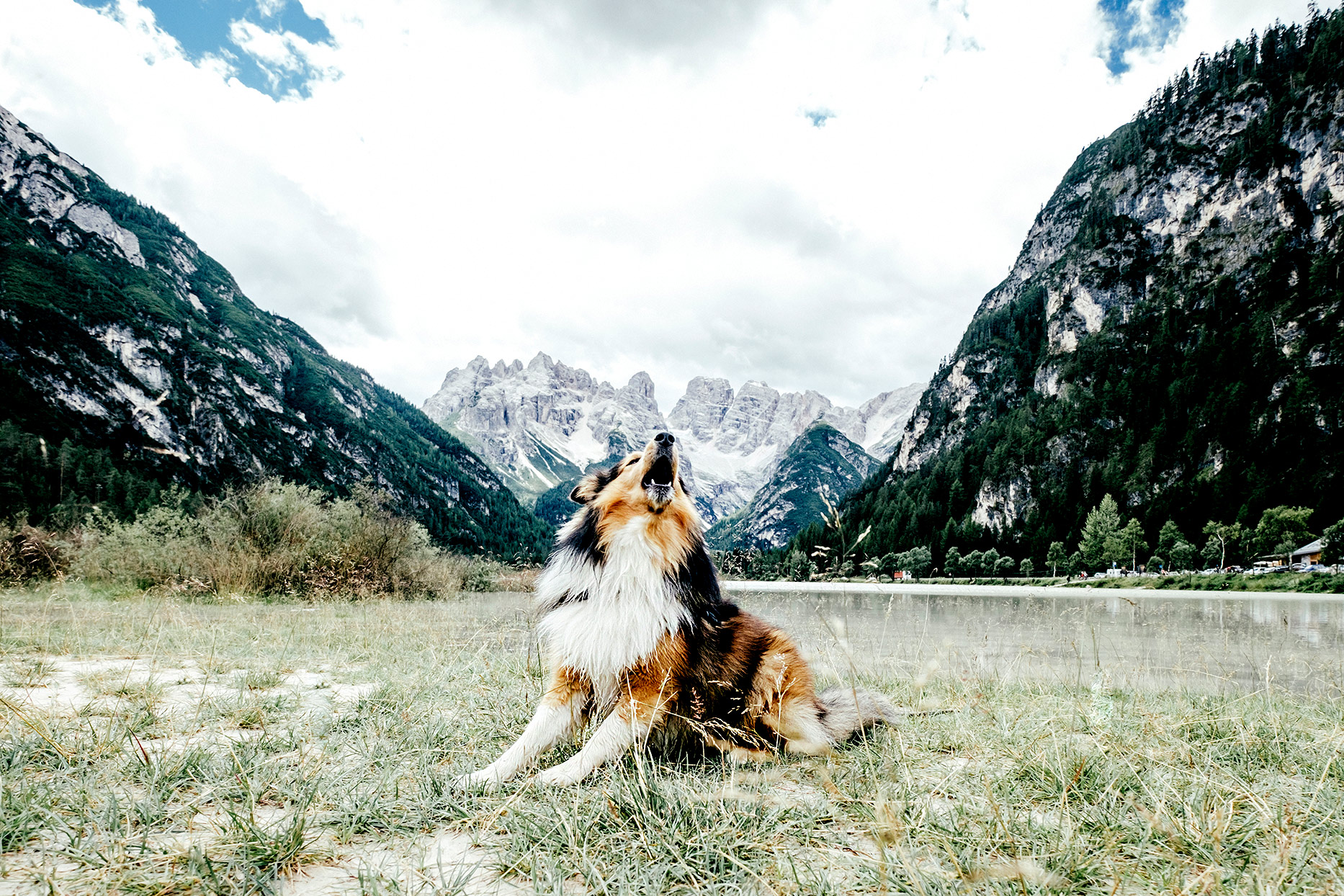 Border Collie howling in front of mountains
