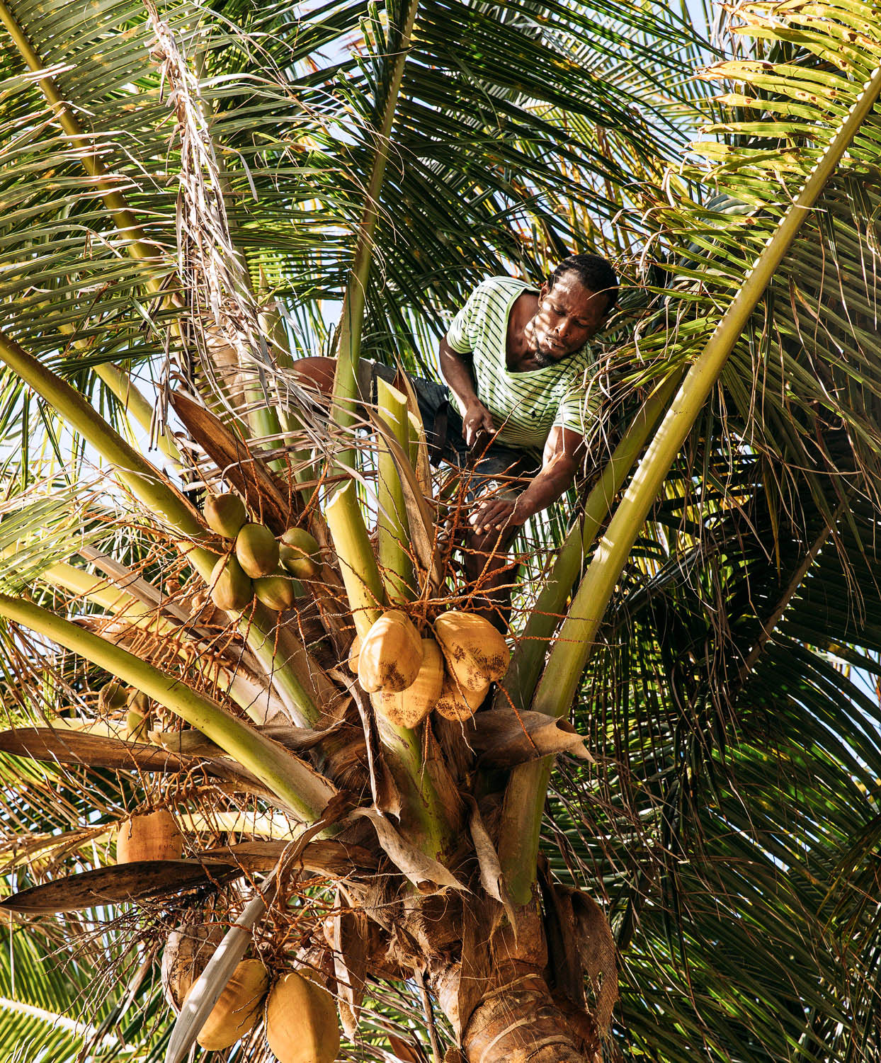 man cutting coconut in tree bequia