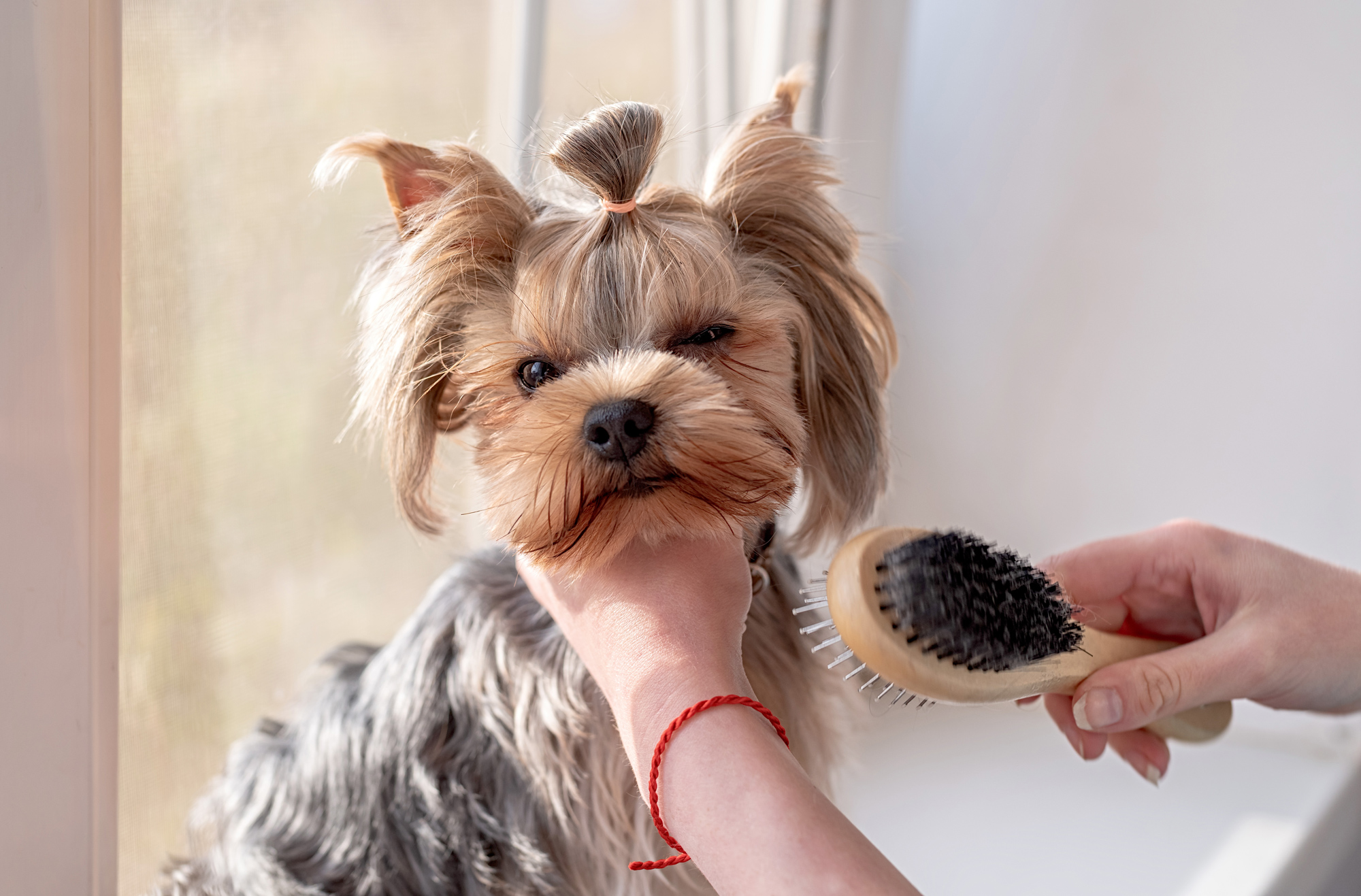 woman brushing yorkshire terrier with ponytail