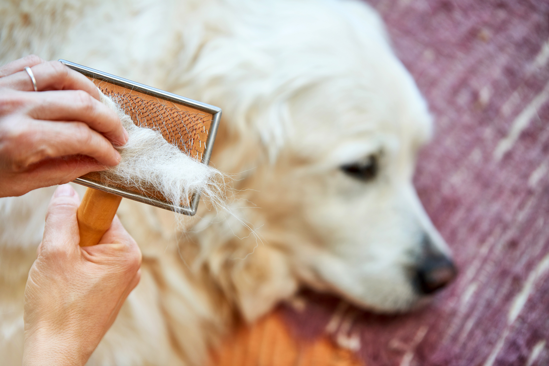 Person brushing a white dog