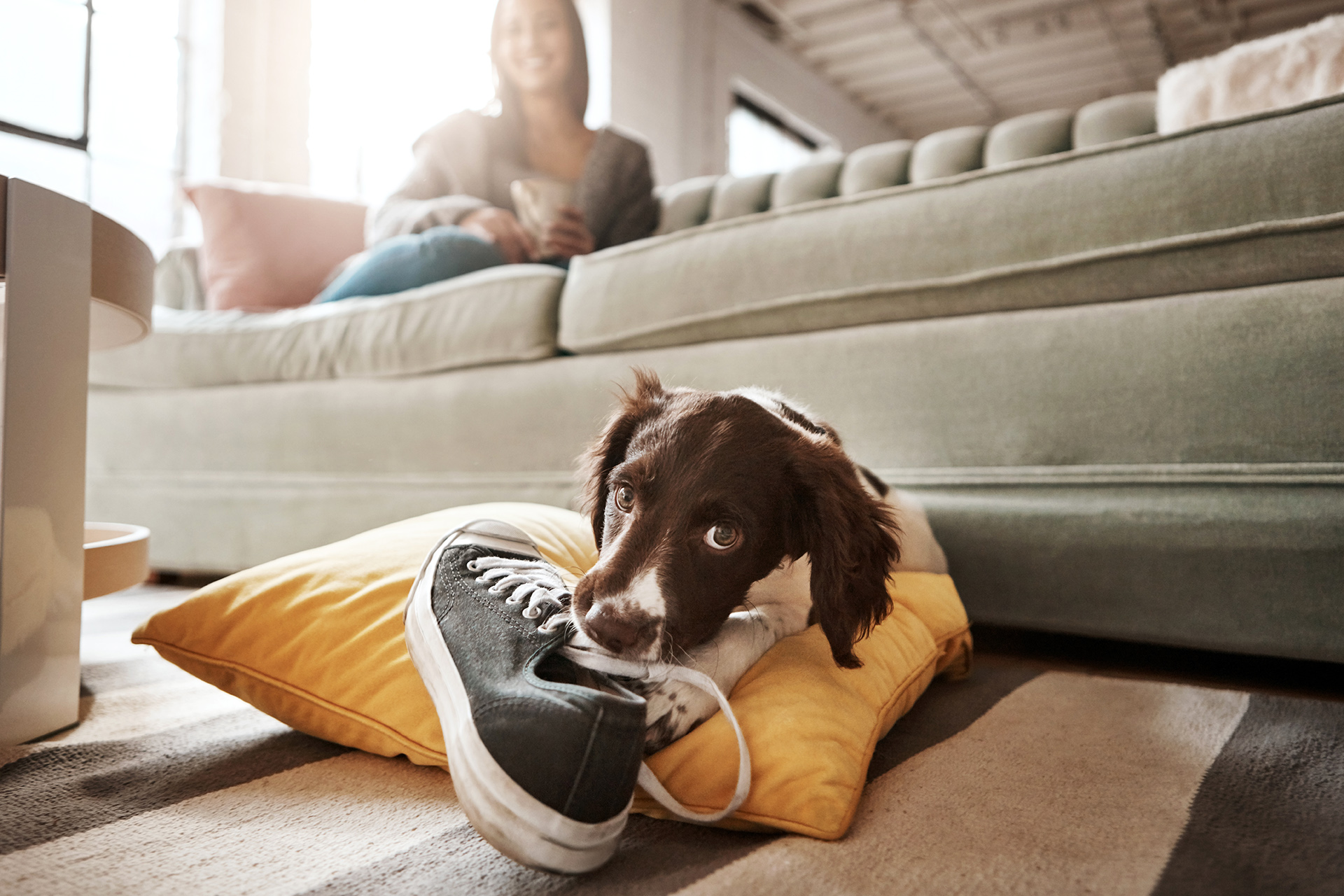 puppy chewing shoe on pillow in front of couch