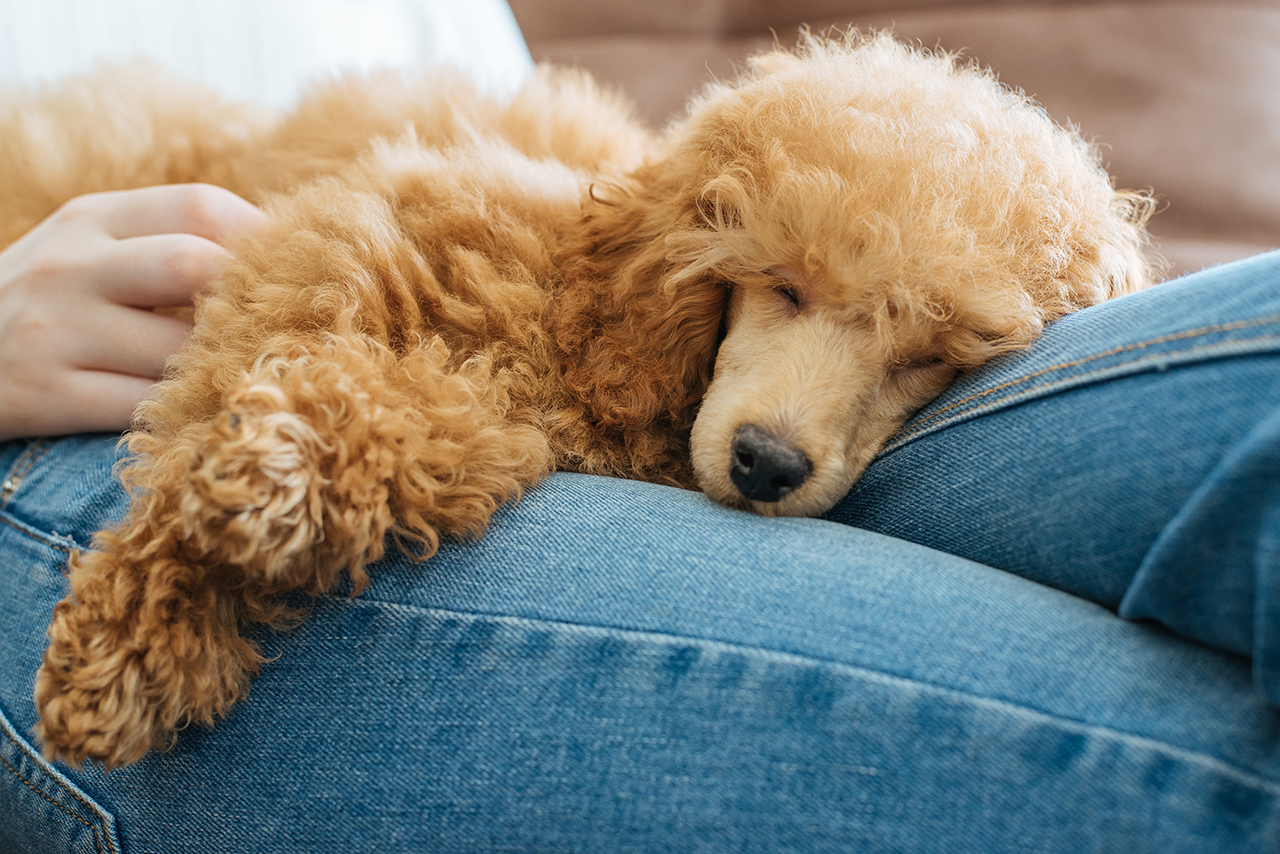 poodle resting in lap