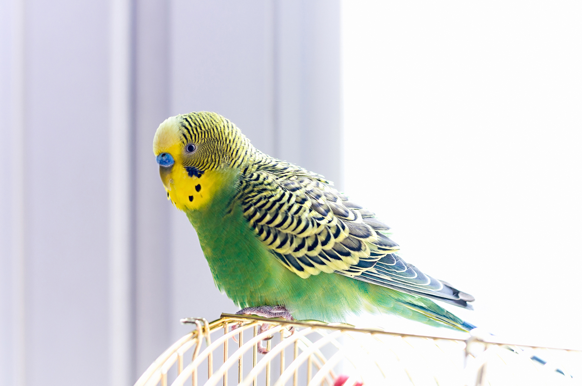 green and yellow budgerigar parrot