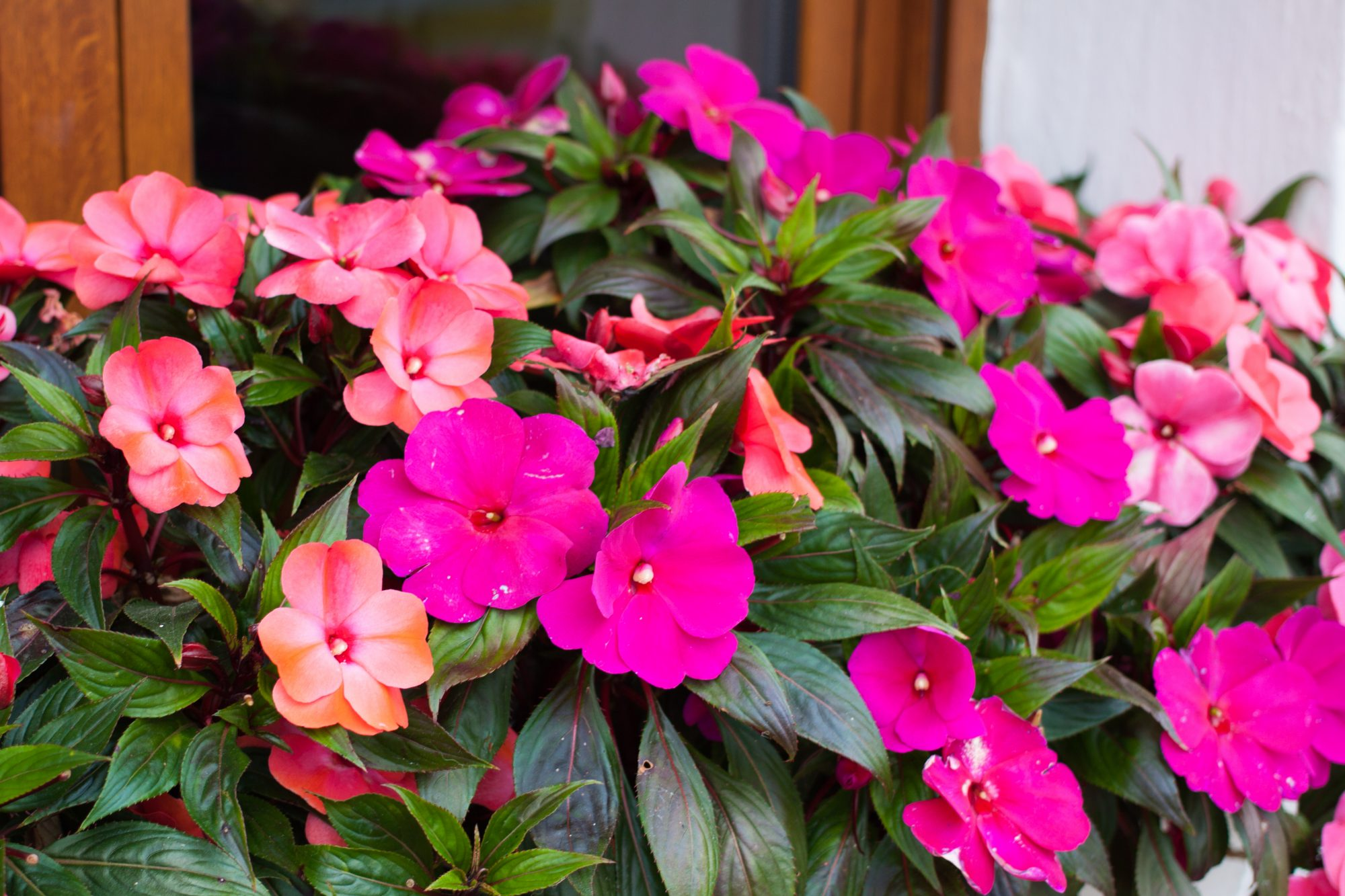 Bright pink impatiens hawkeri, the New Guinea impatiens, in bloom