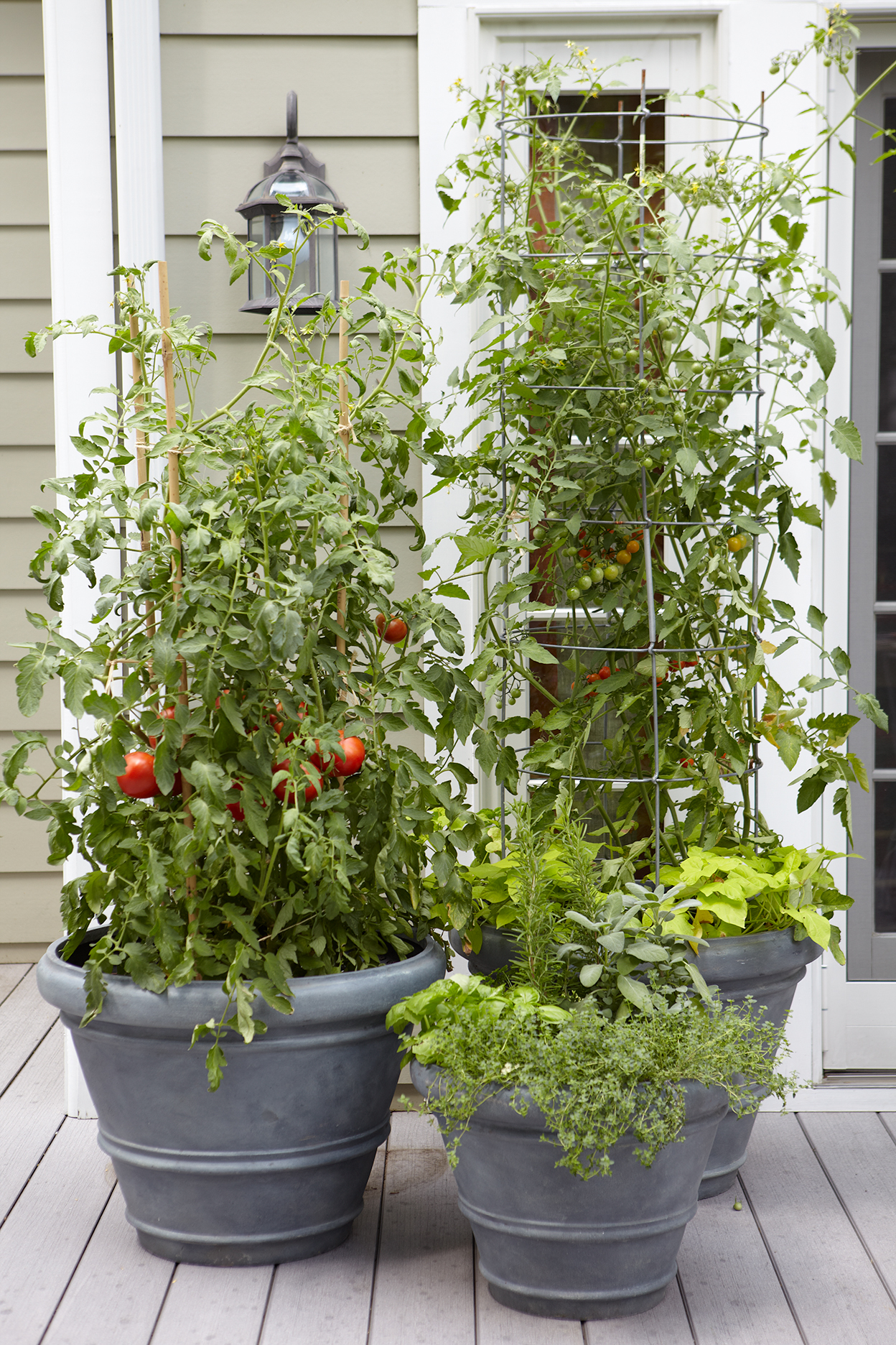 oversized pots with tomato plants