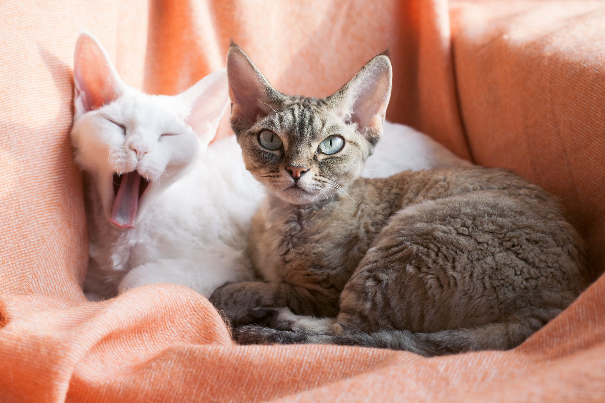 two sleepy Devon rex cats laying on a blanket