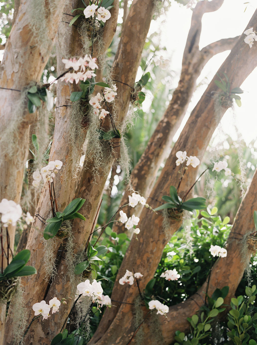 banyan trees decorated with white orchids for altar background