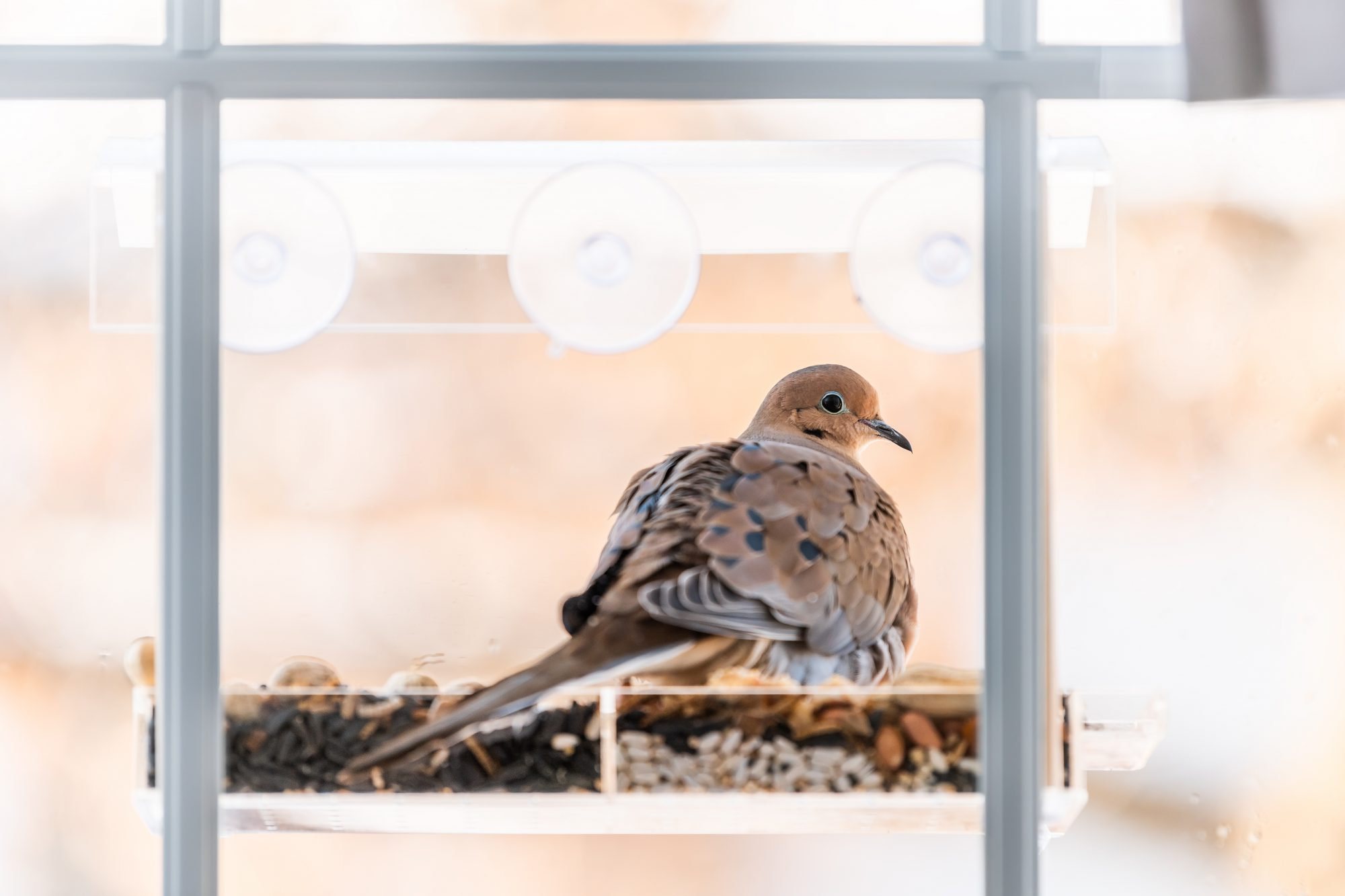 mourning dove bird sitting perched on a glass window feeder