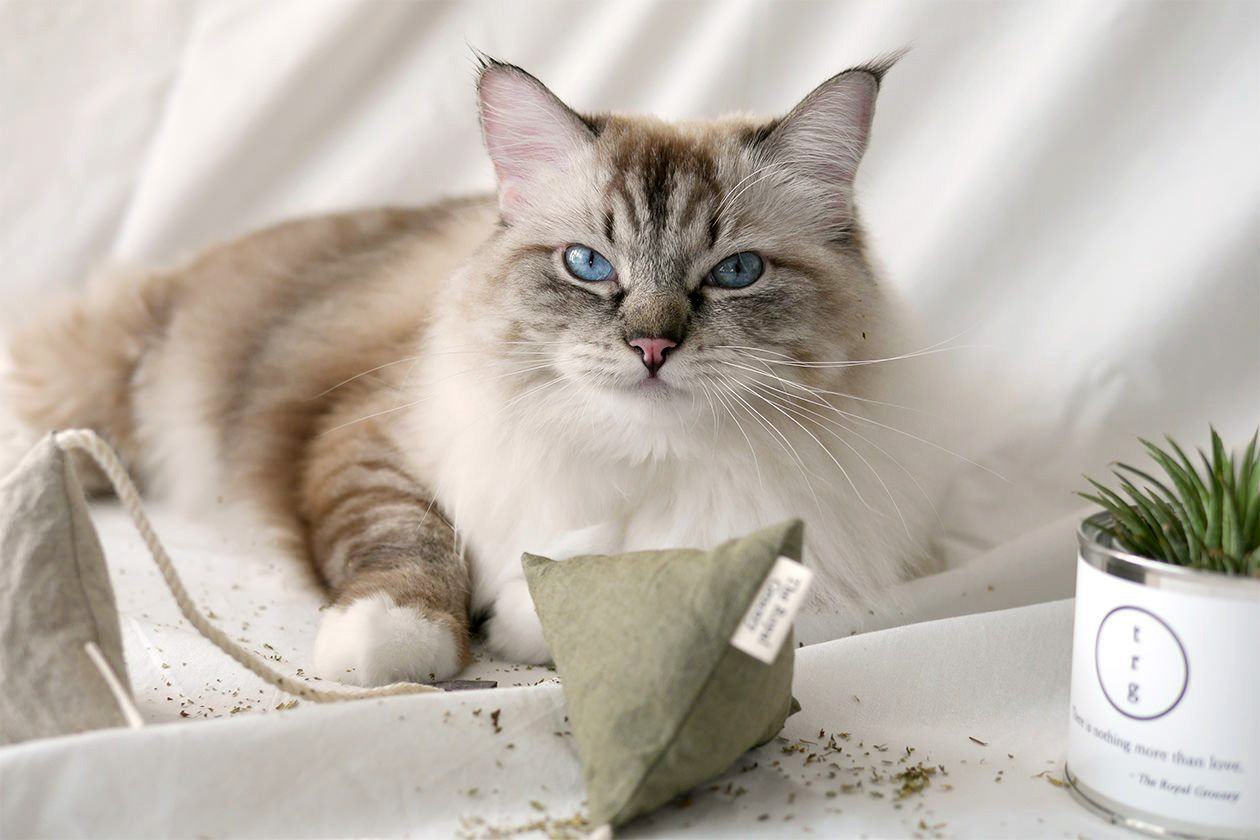 domestic long-haired cat with catnip toy