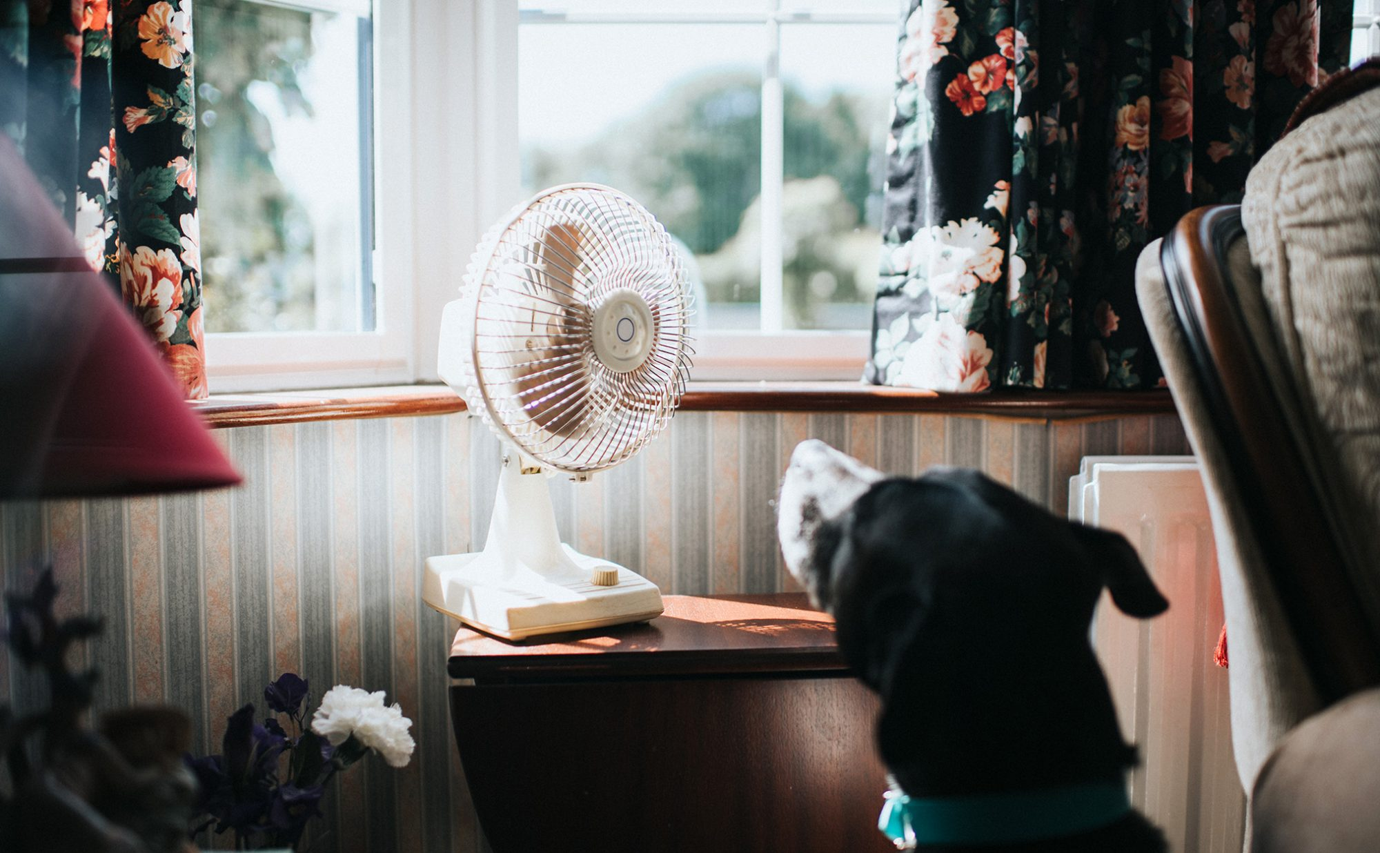 table fan with hot dog cooling off